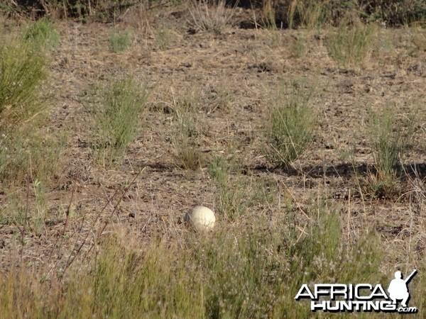 Ostrich egg Namibia
