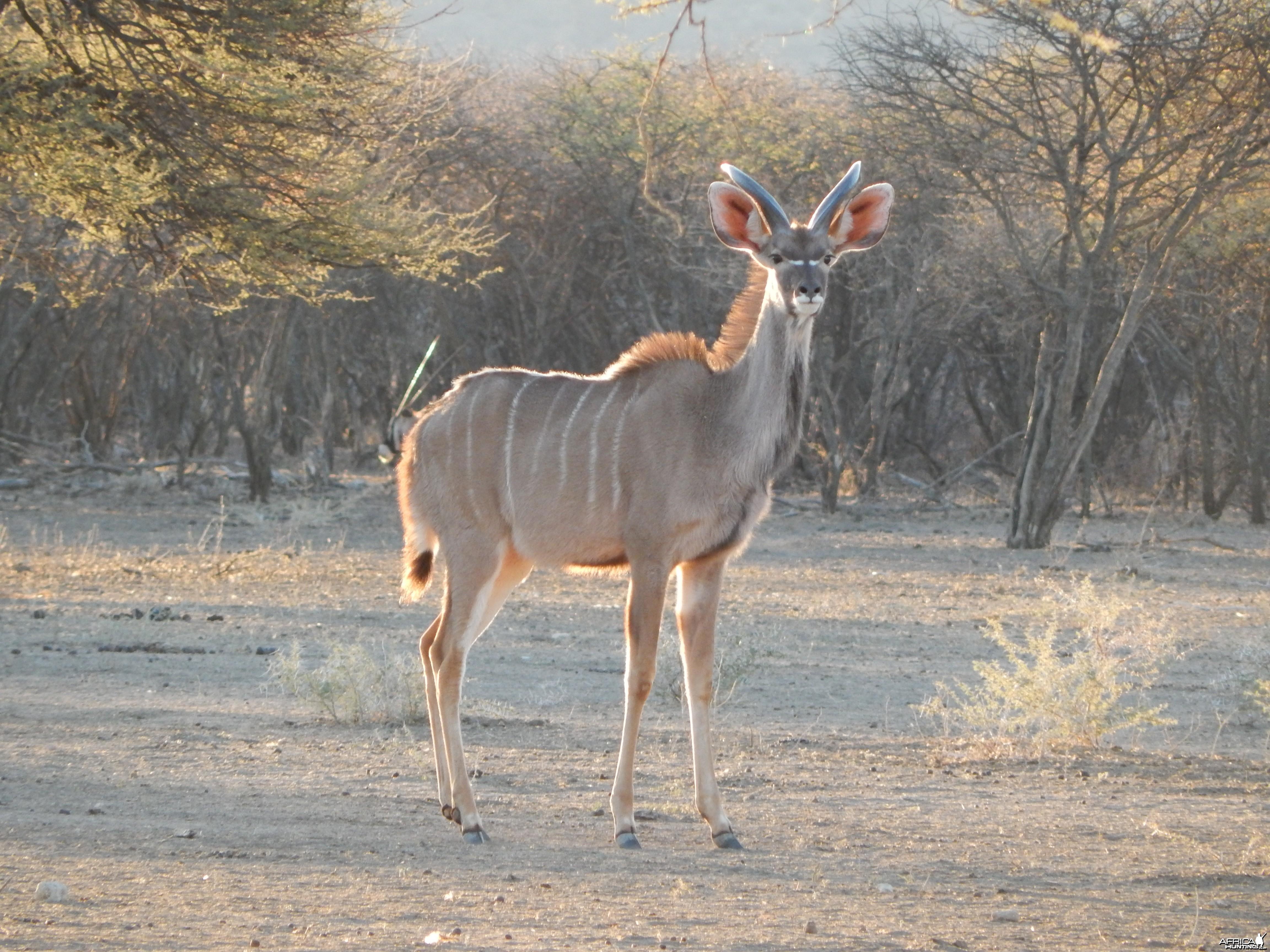 Greater Kudu Namibia