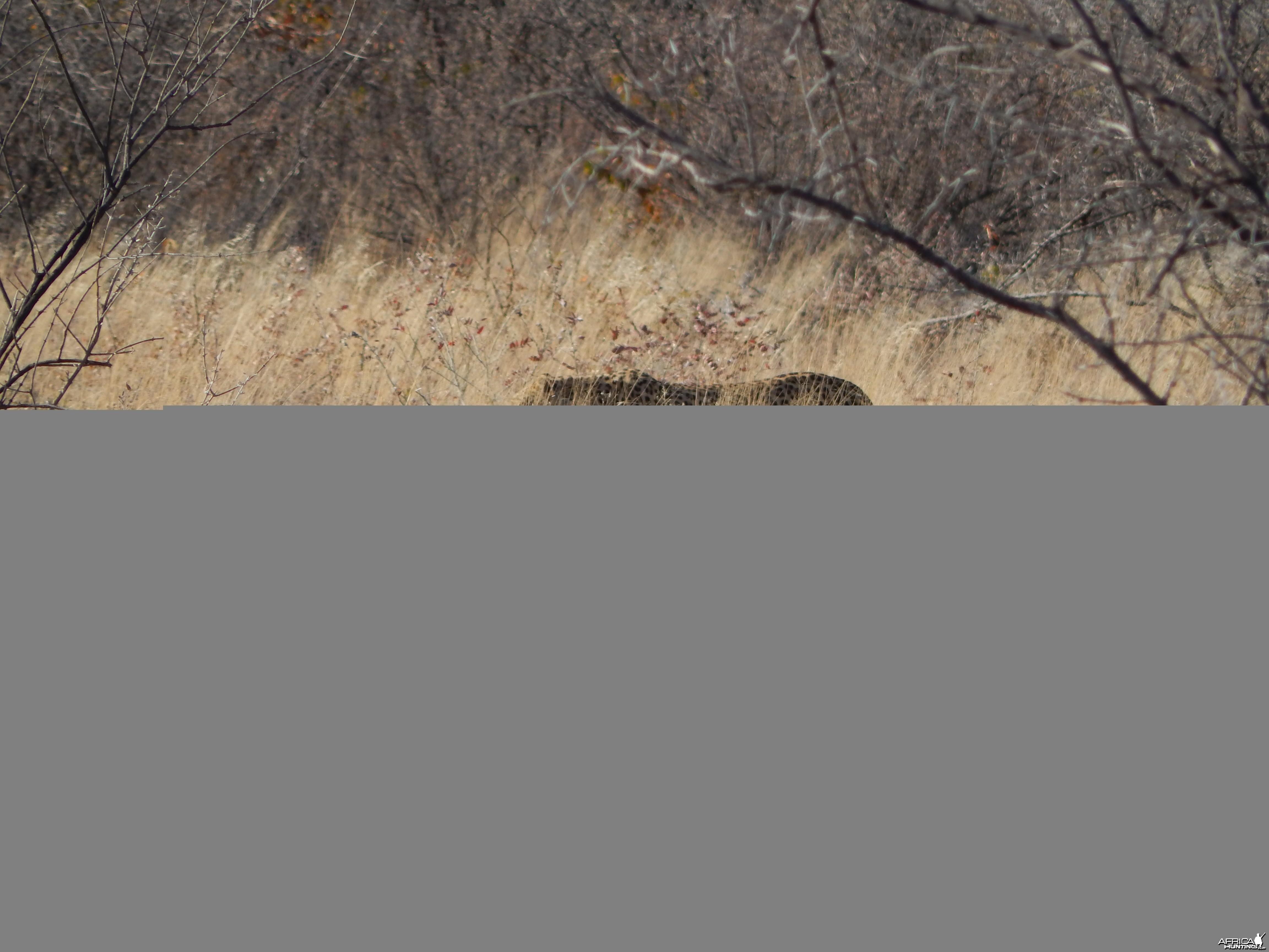 Leopard Etosha Namibia