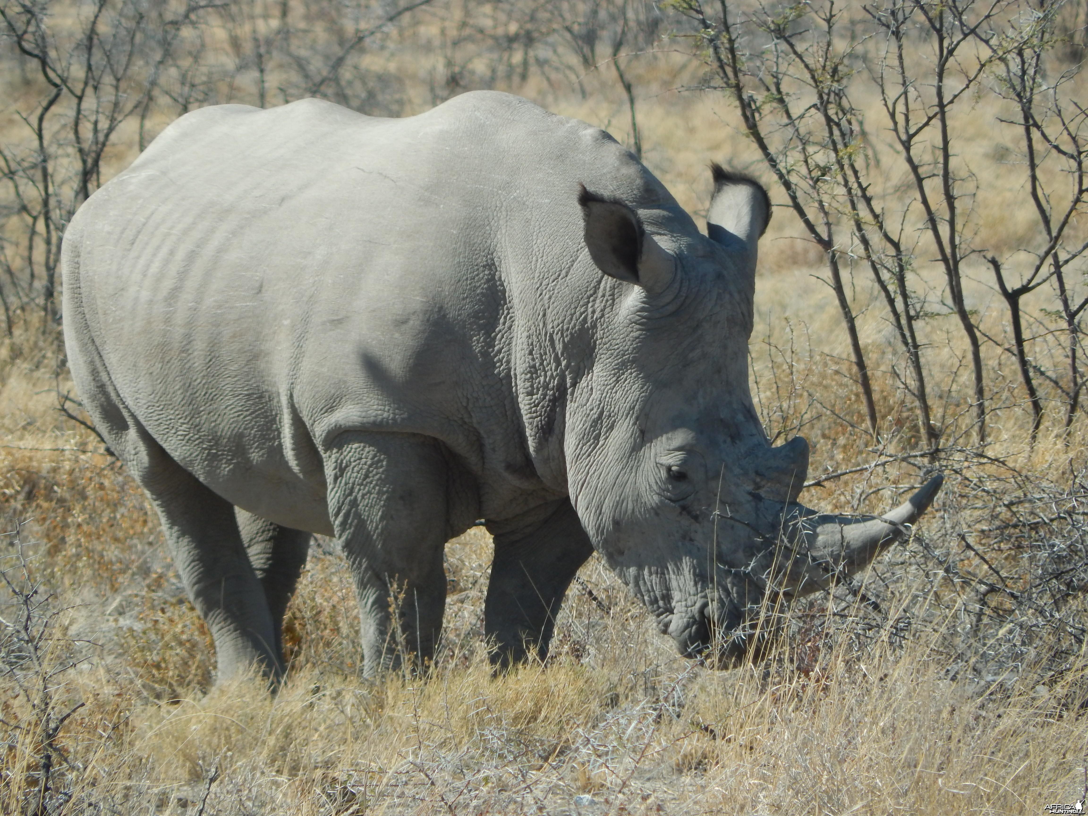 White Rhino Etosha Namibia