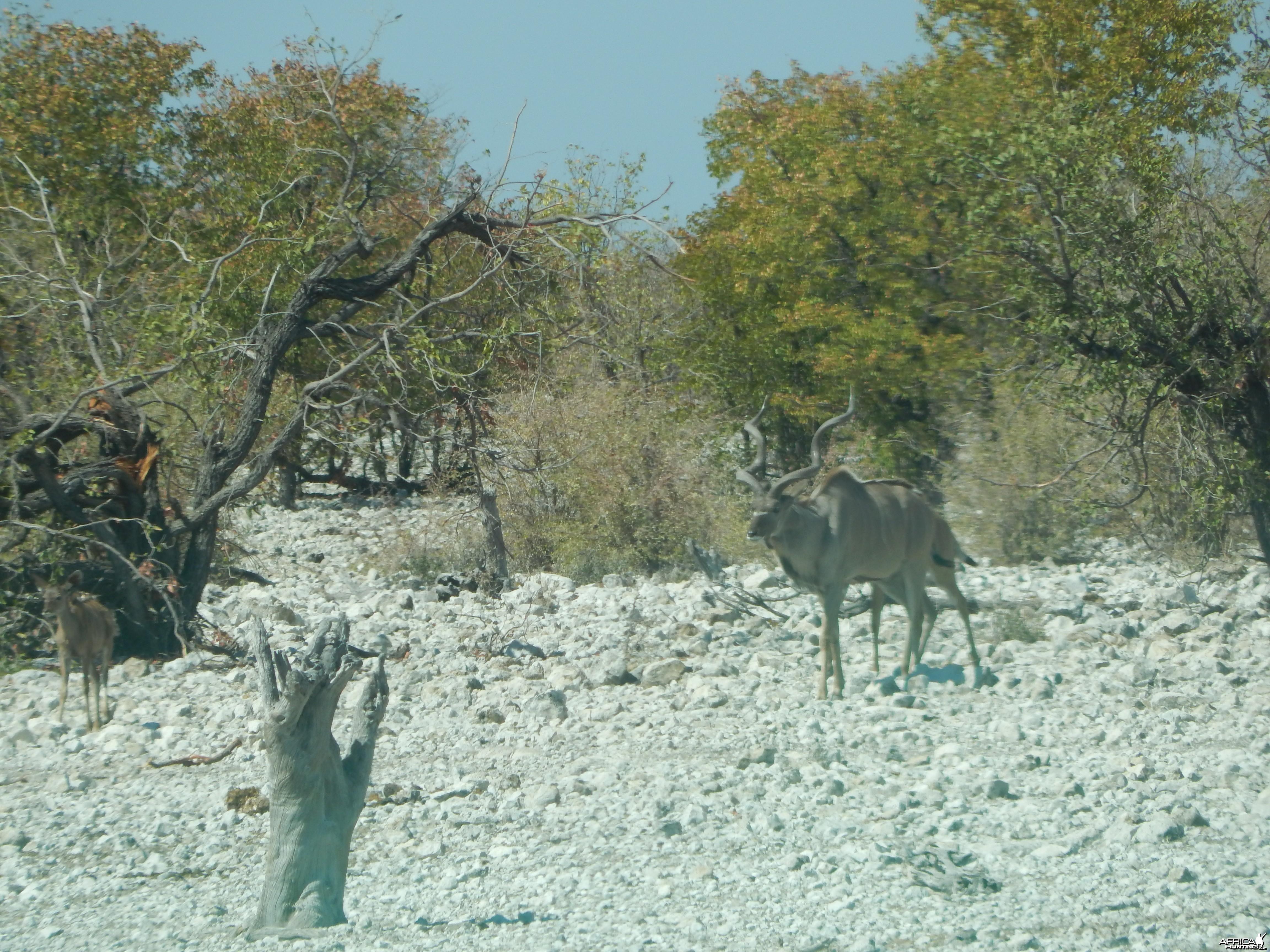 Greater Kudu Etosha Namibia