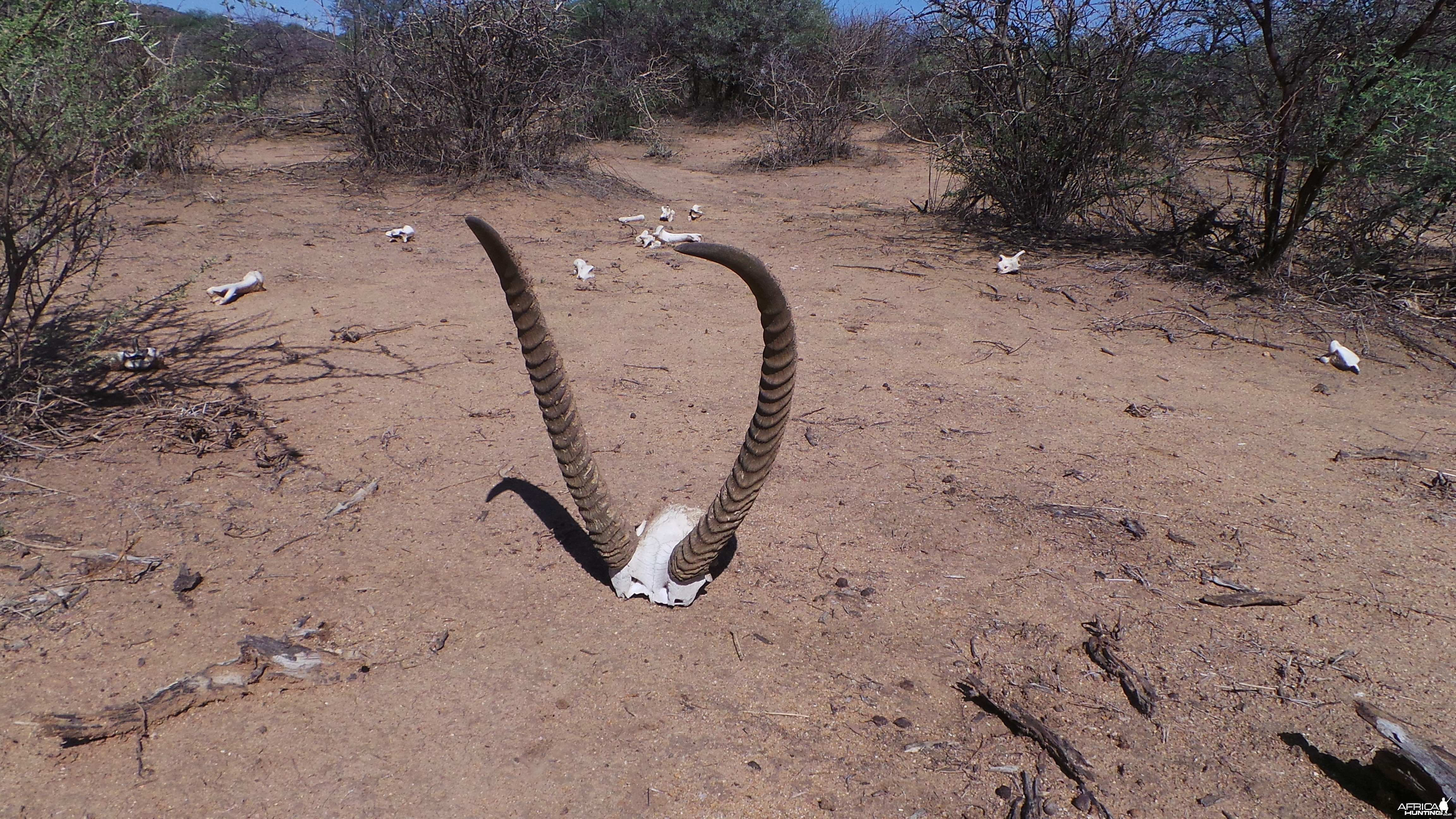 Waterbuck horns Namibia