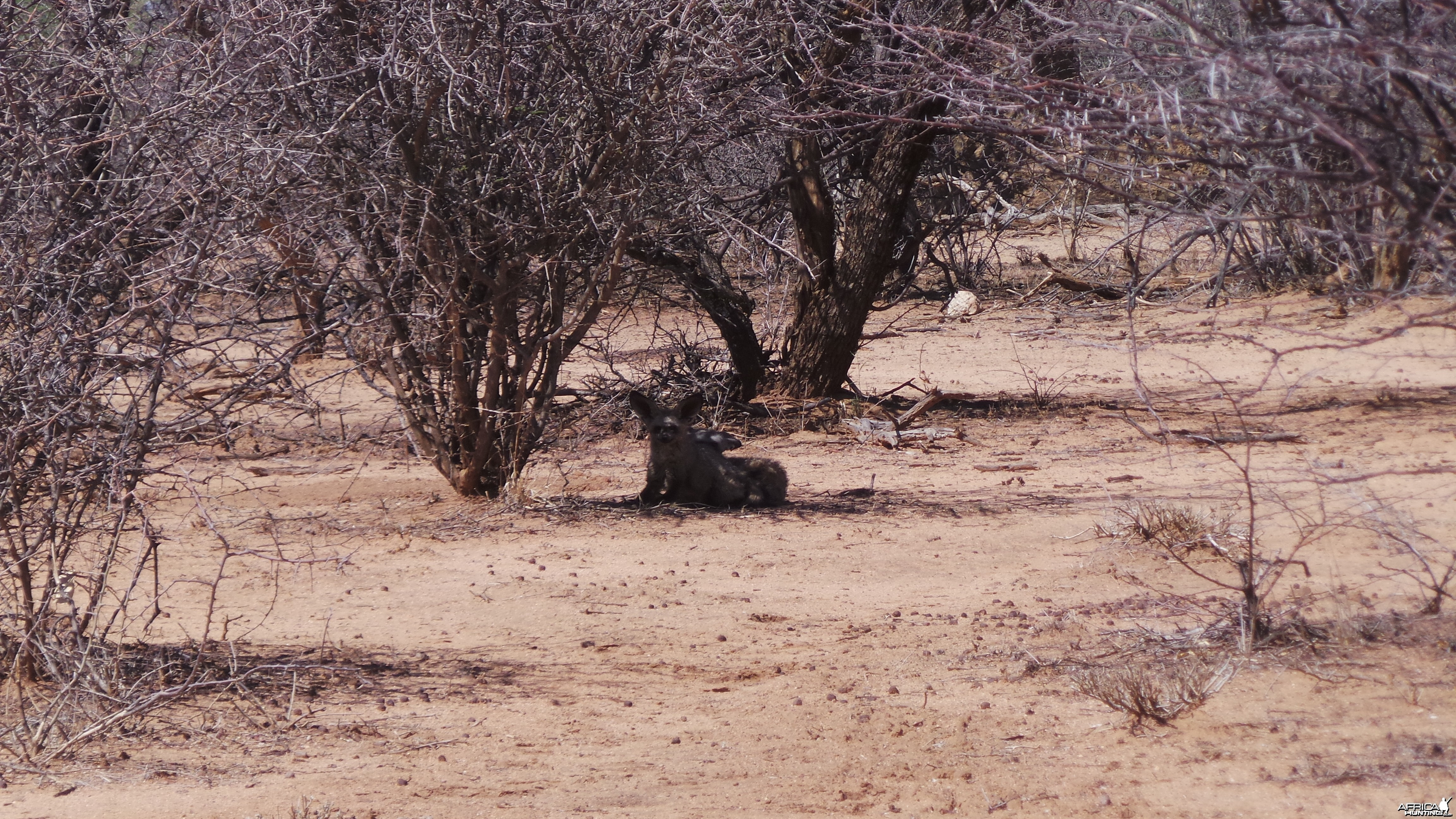 Bat-Eared Fox Namibia