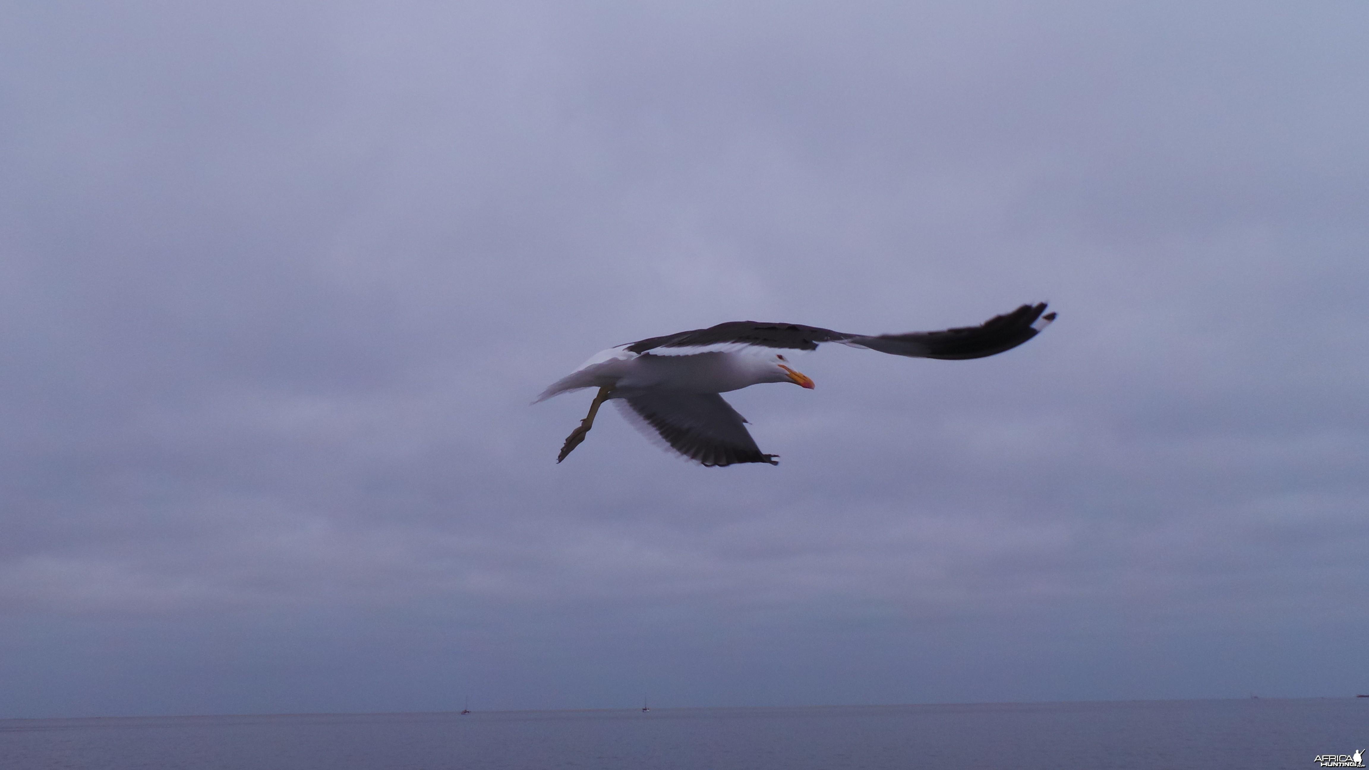 Seagull Walvis Bay Namibia