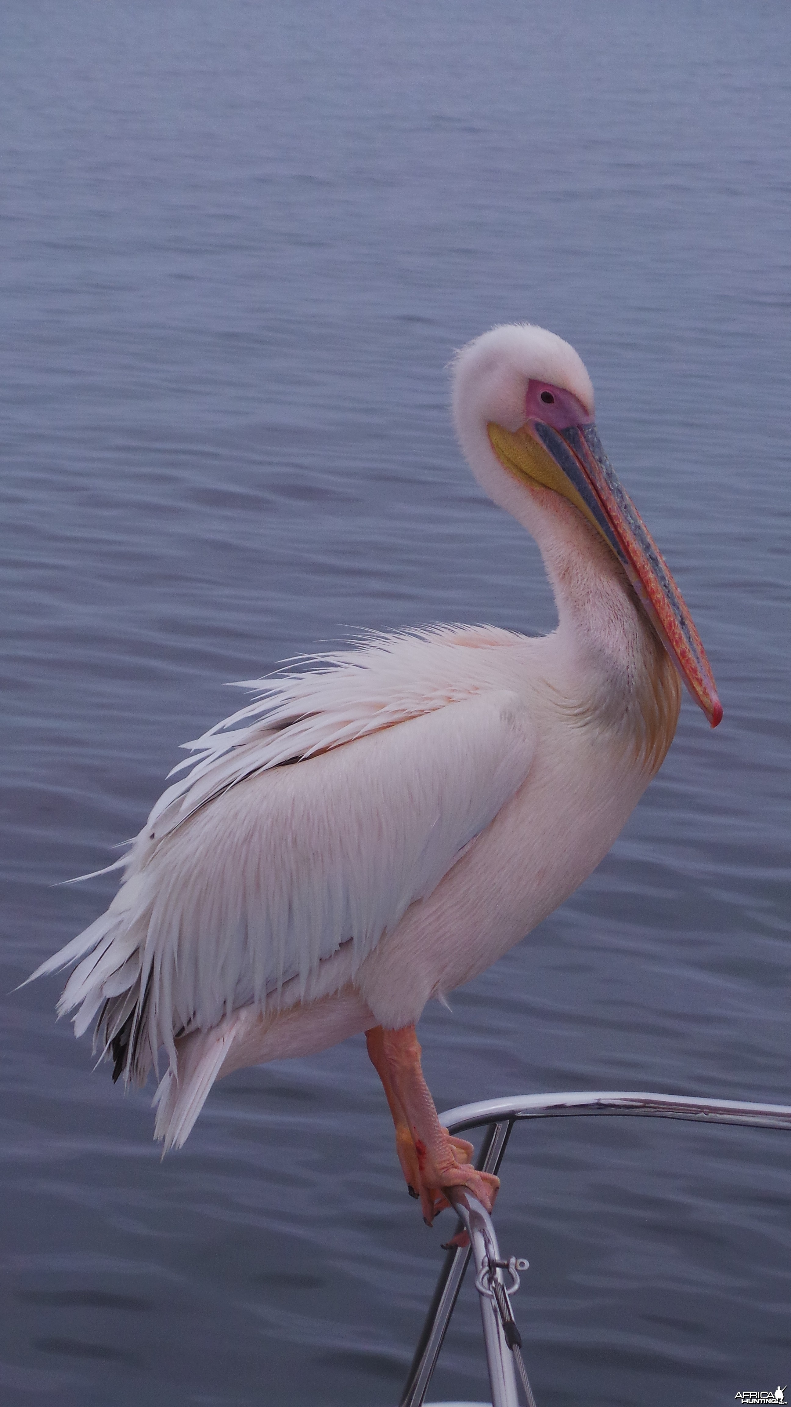 Pelican Walvis Bay Namibia