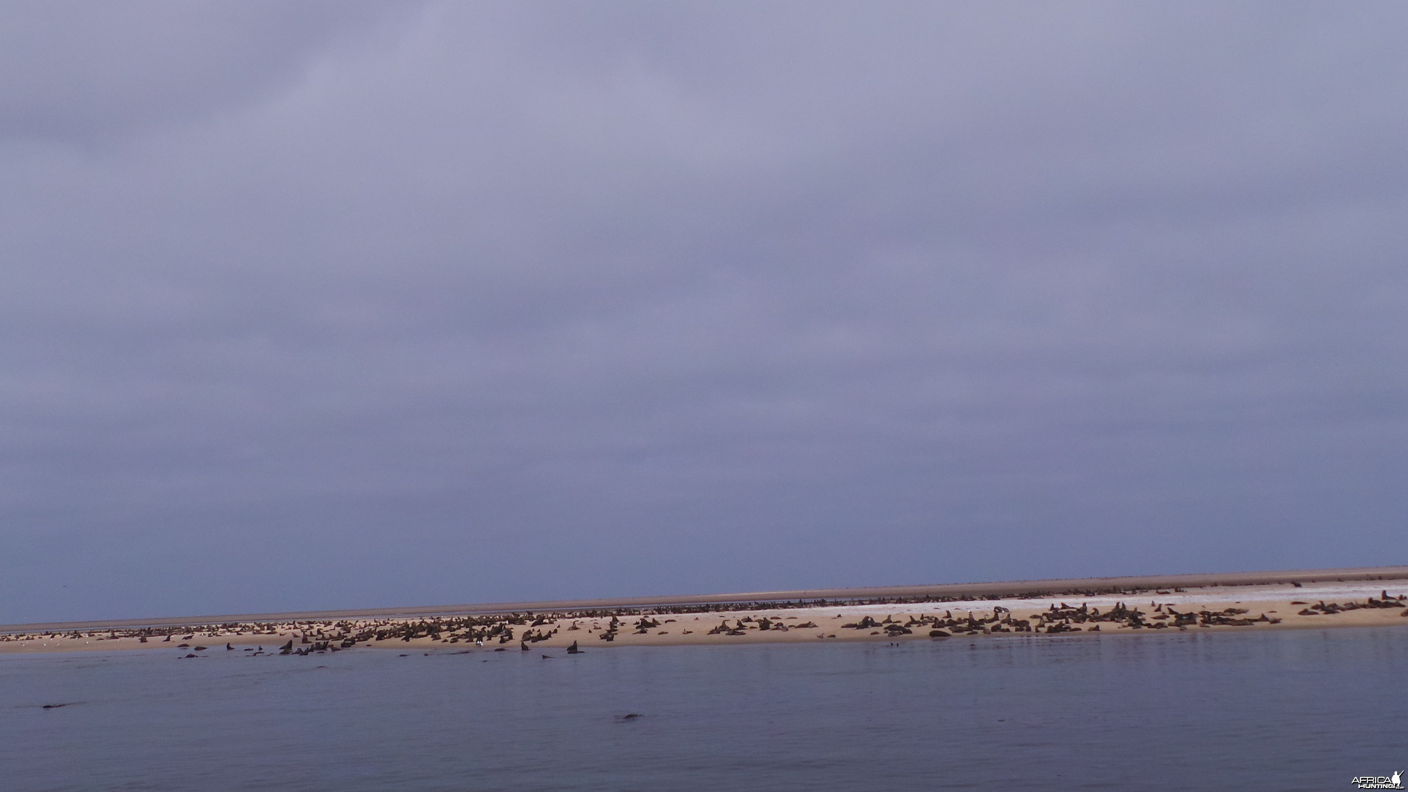 Cape Fur Seal Walvis Bay Namibia