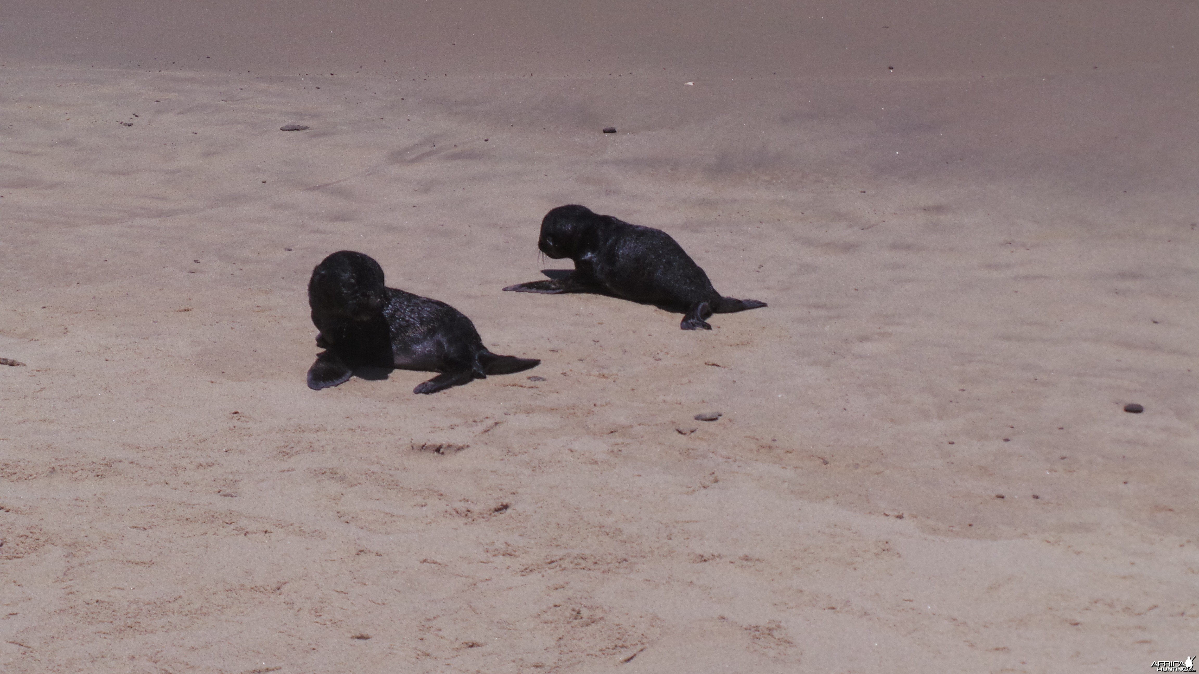 Cape Fur Seal Pups Walvis Bay Namibia