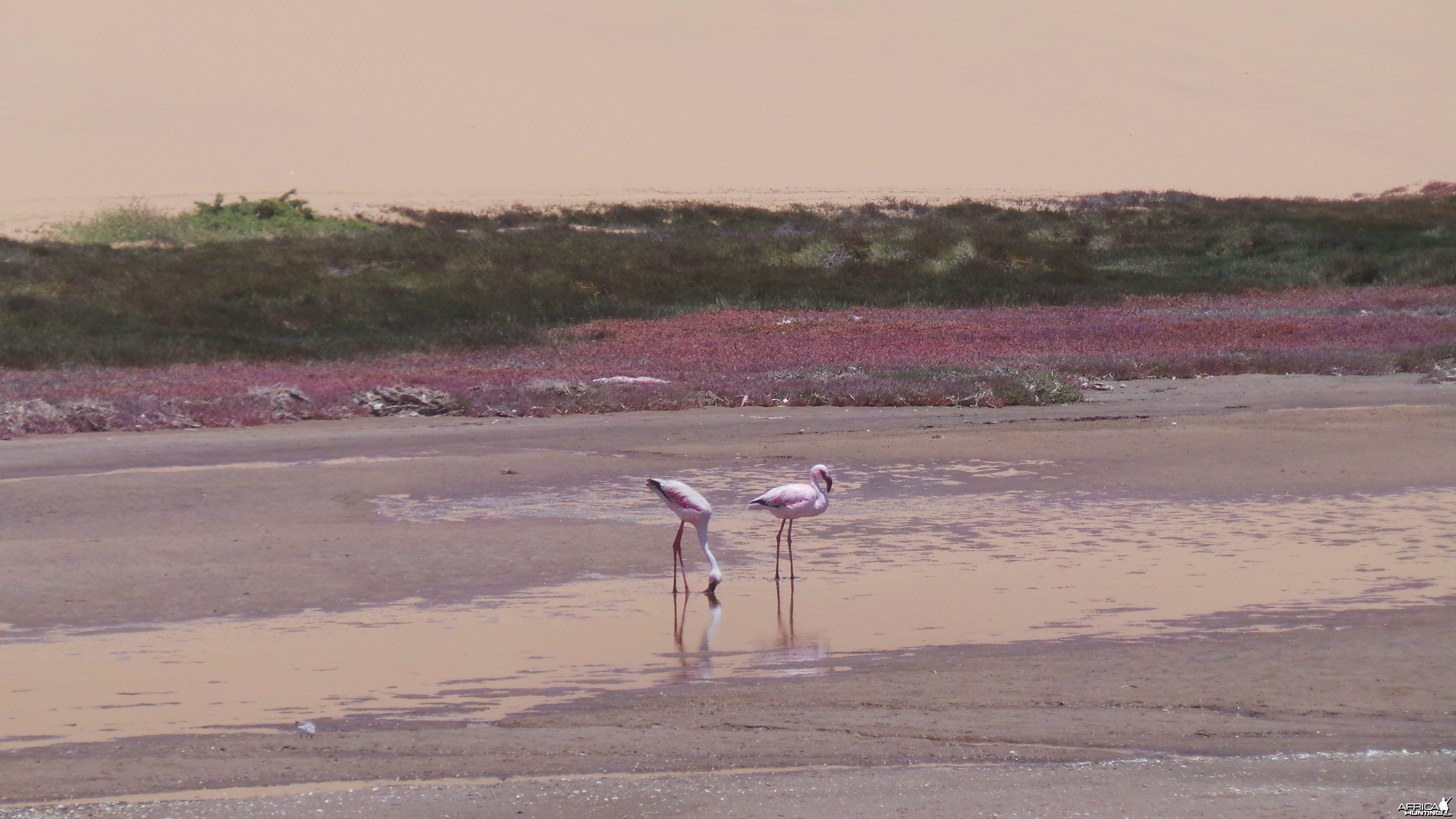 Flamingo Sandwich Harbor Namibia