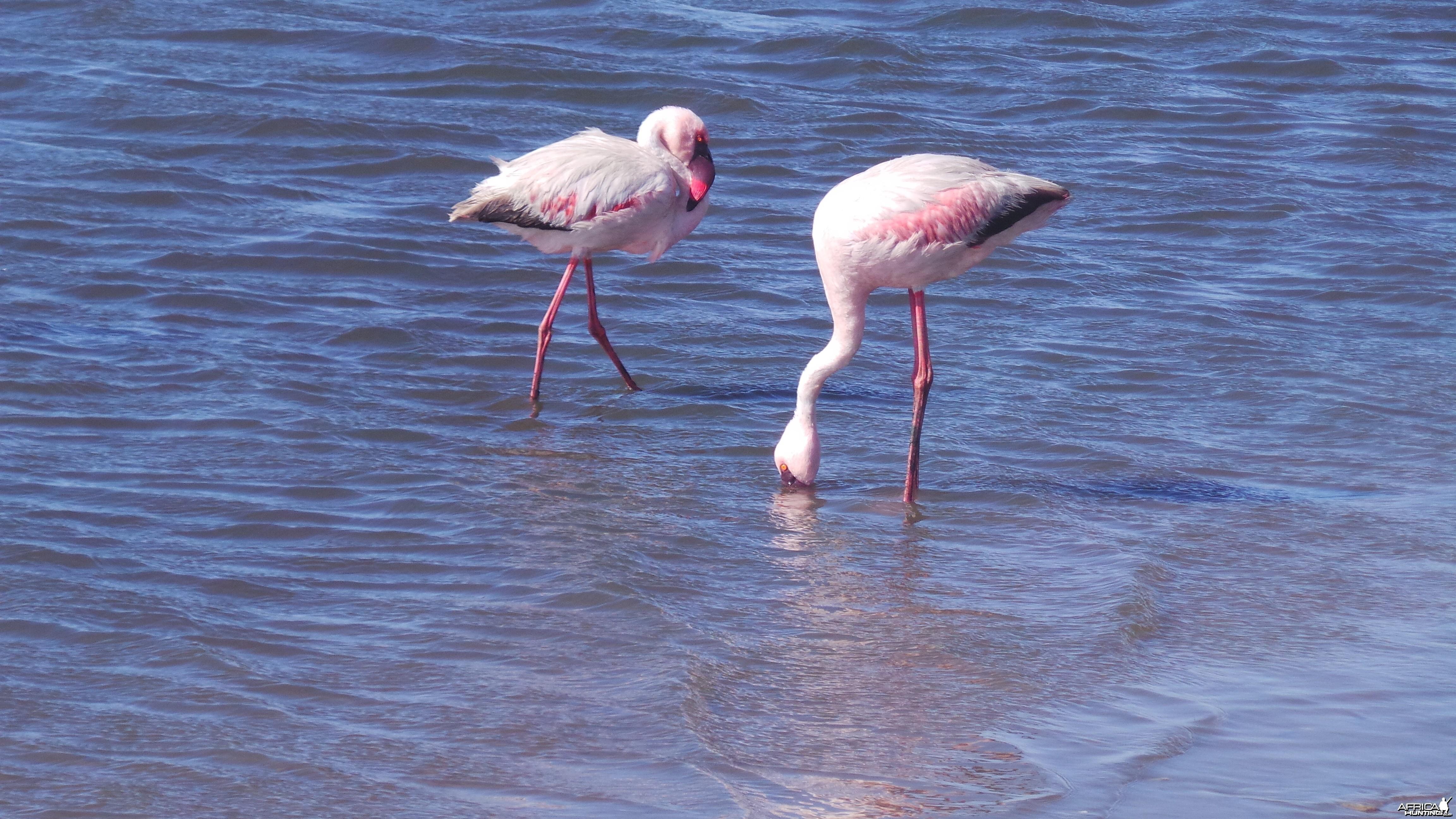Flamingo Walvis Bay Namibia