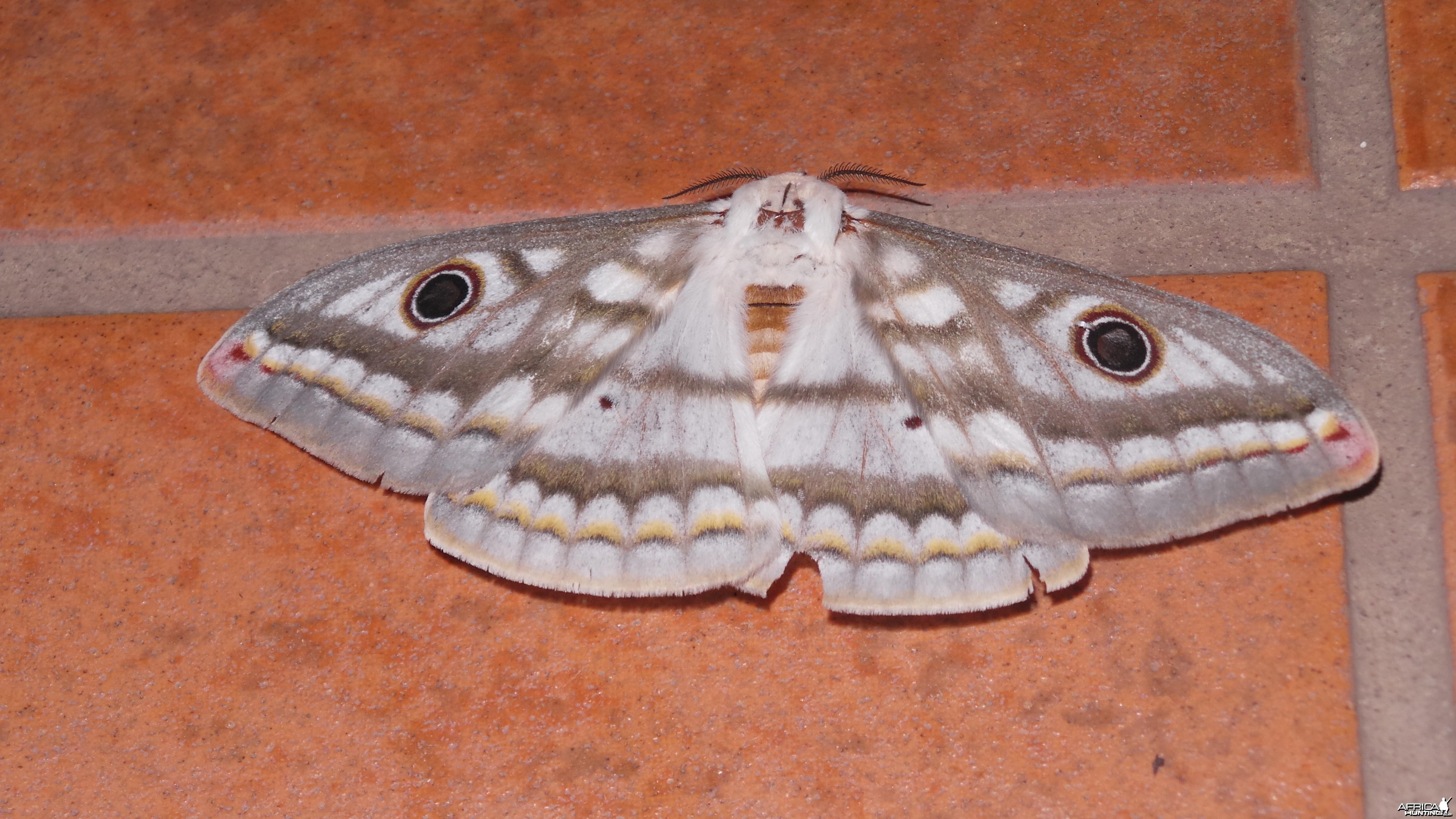 Moth Namibia