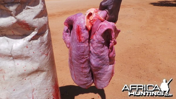 Zebra Vital Organs Heart and Lungs