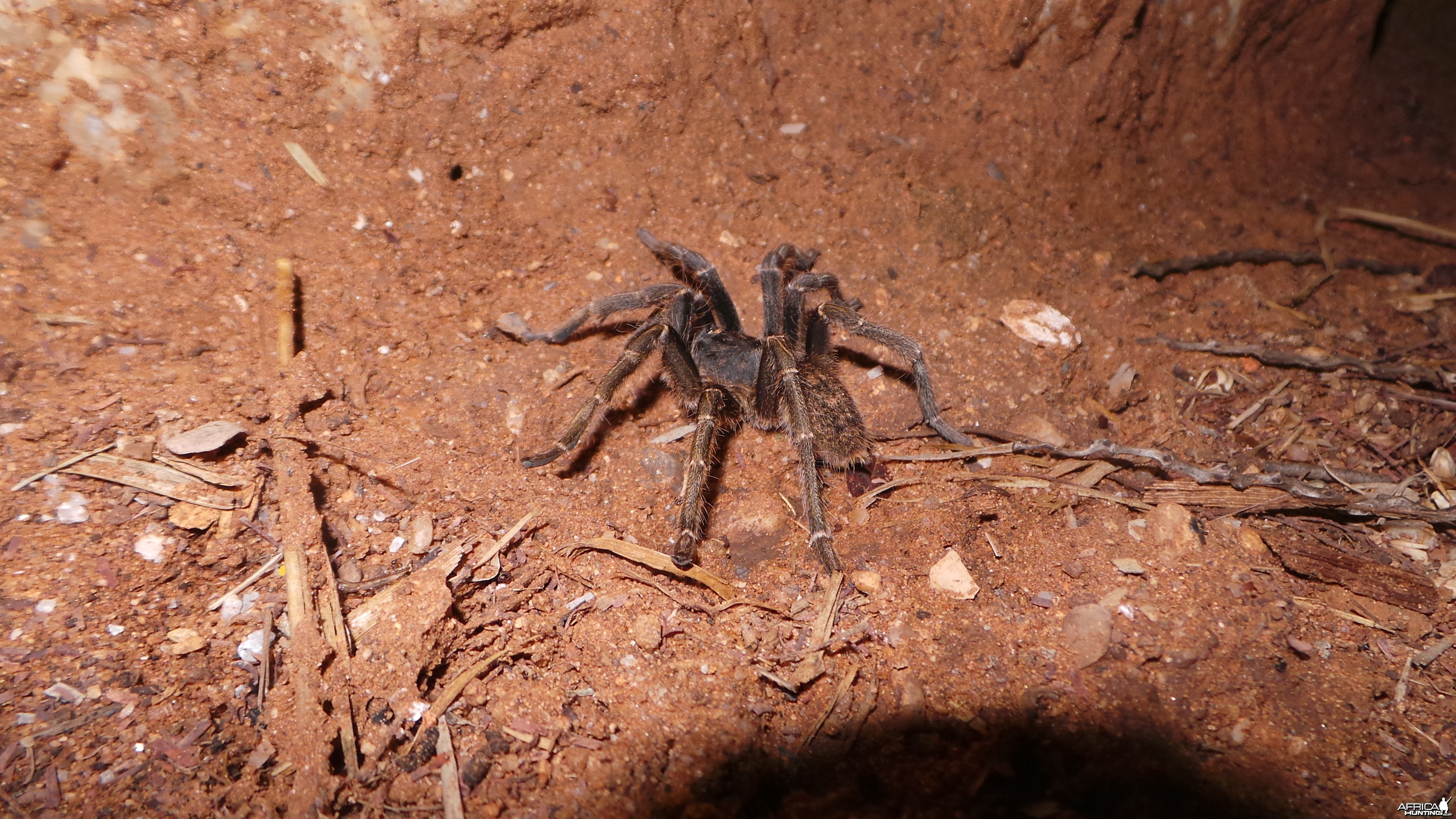 Baboon Spider Namibia