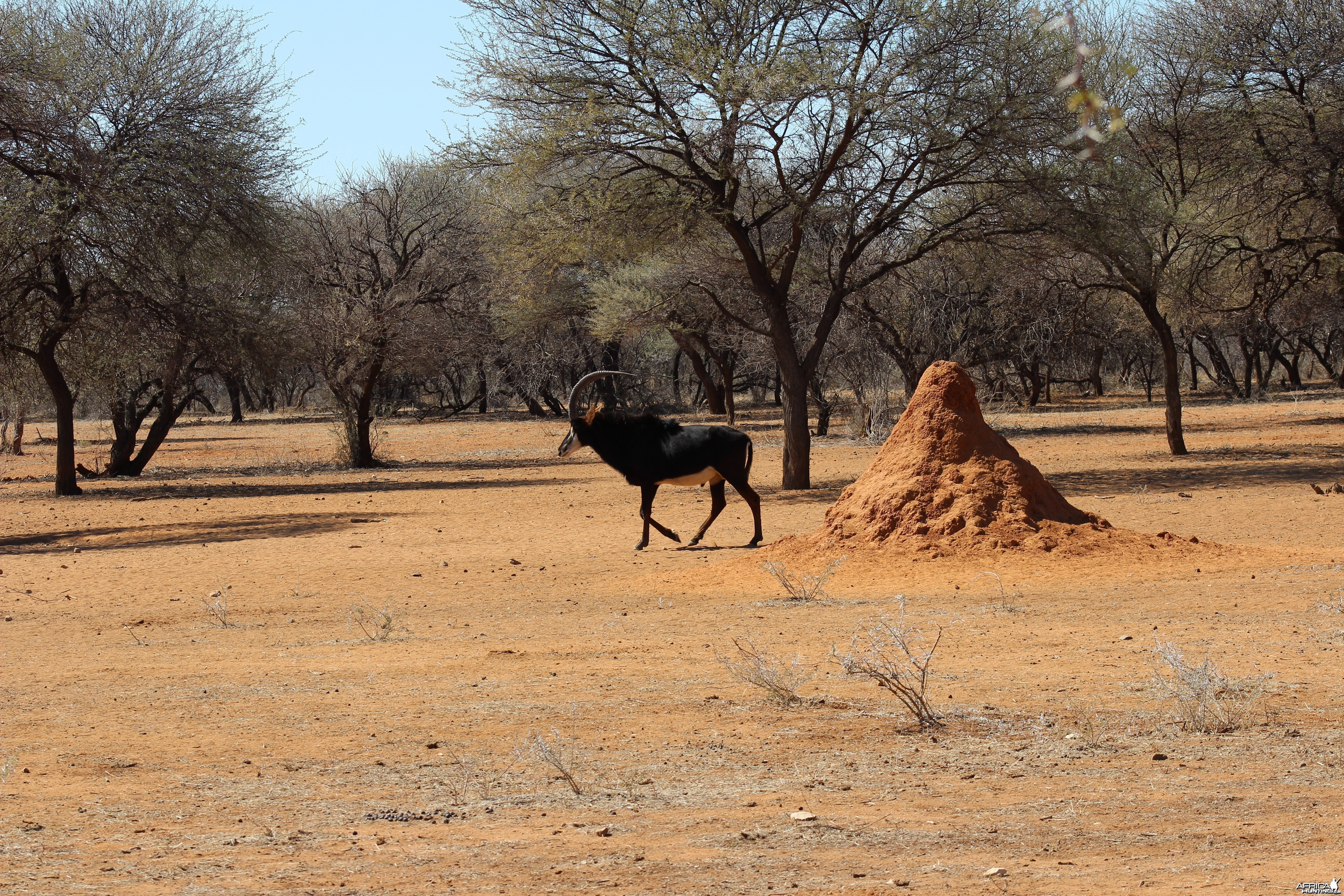 Sable Antelope Namibia