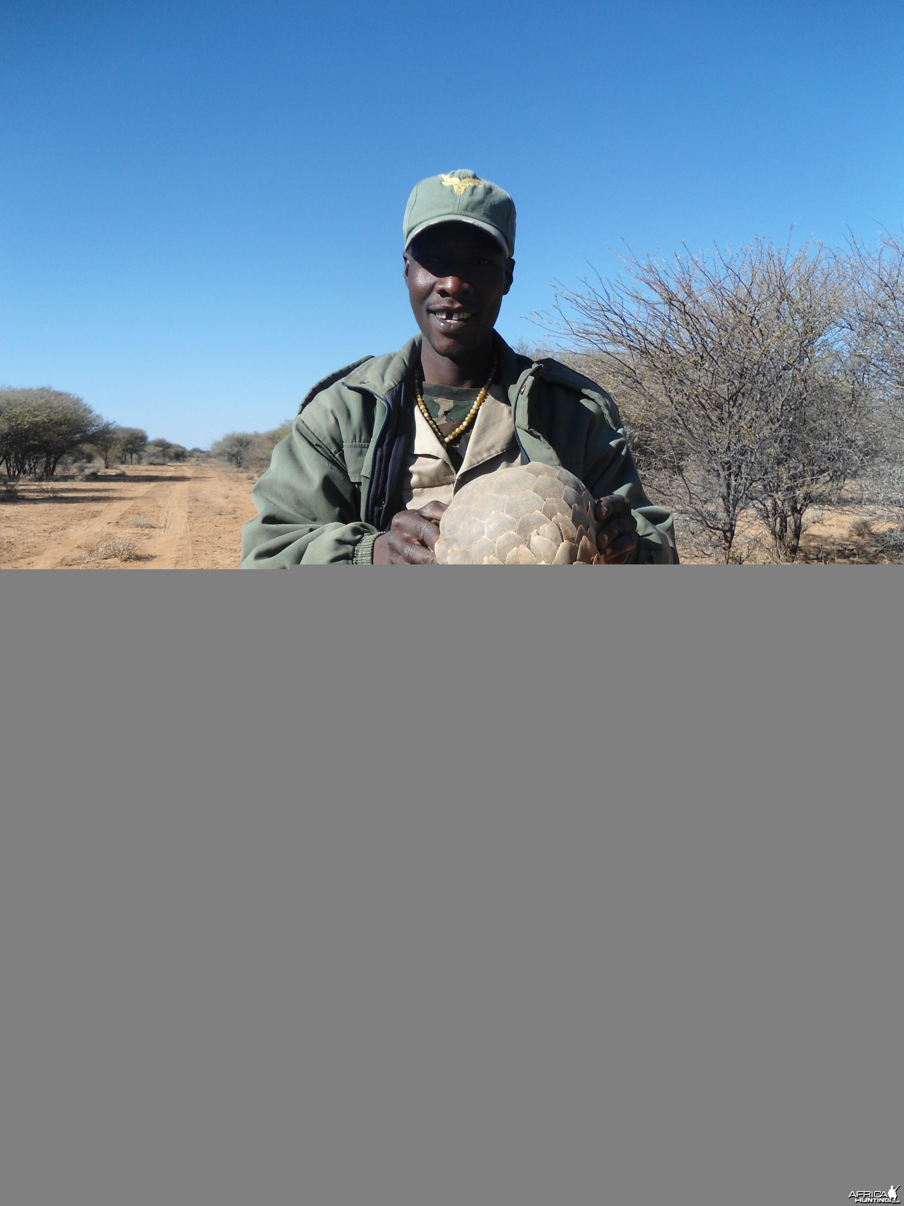 Pangolin Namibia
