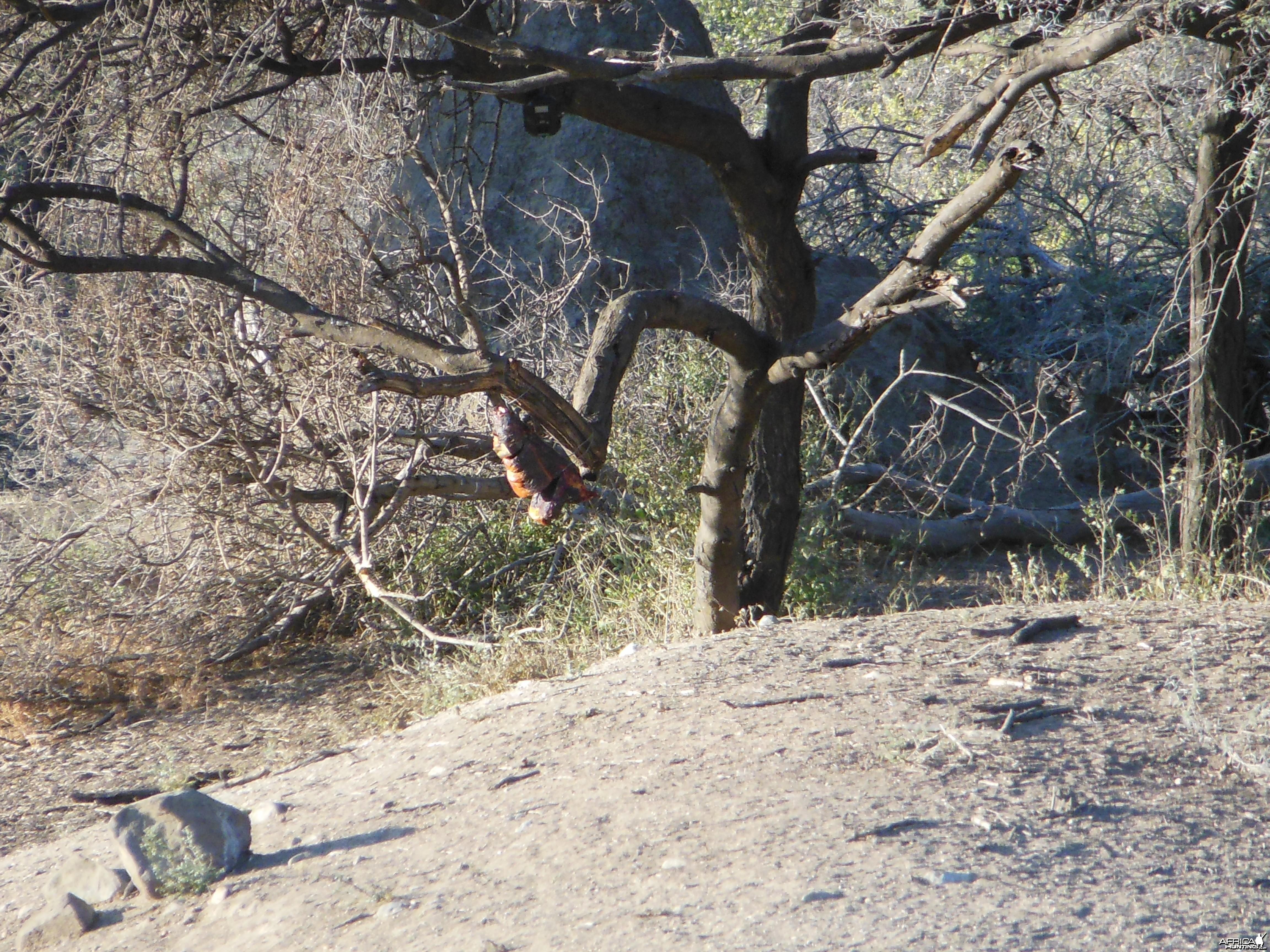 Leopard Bait Namibia