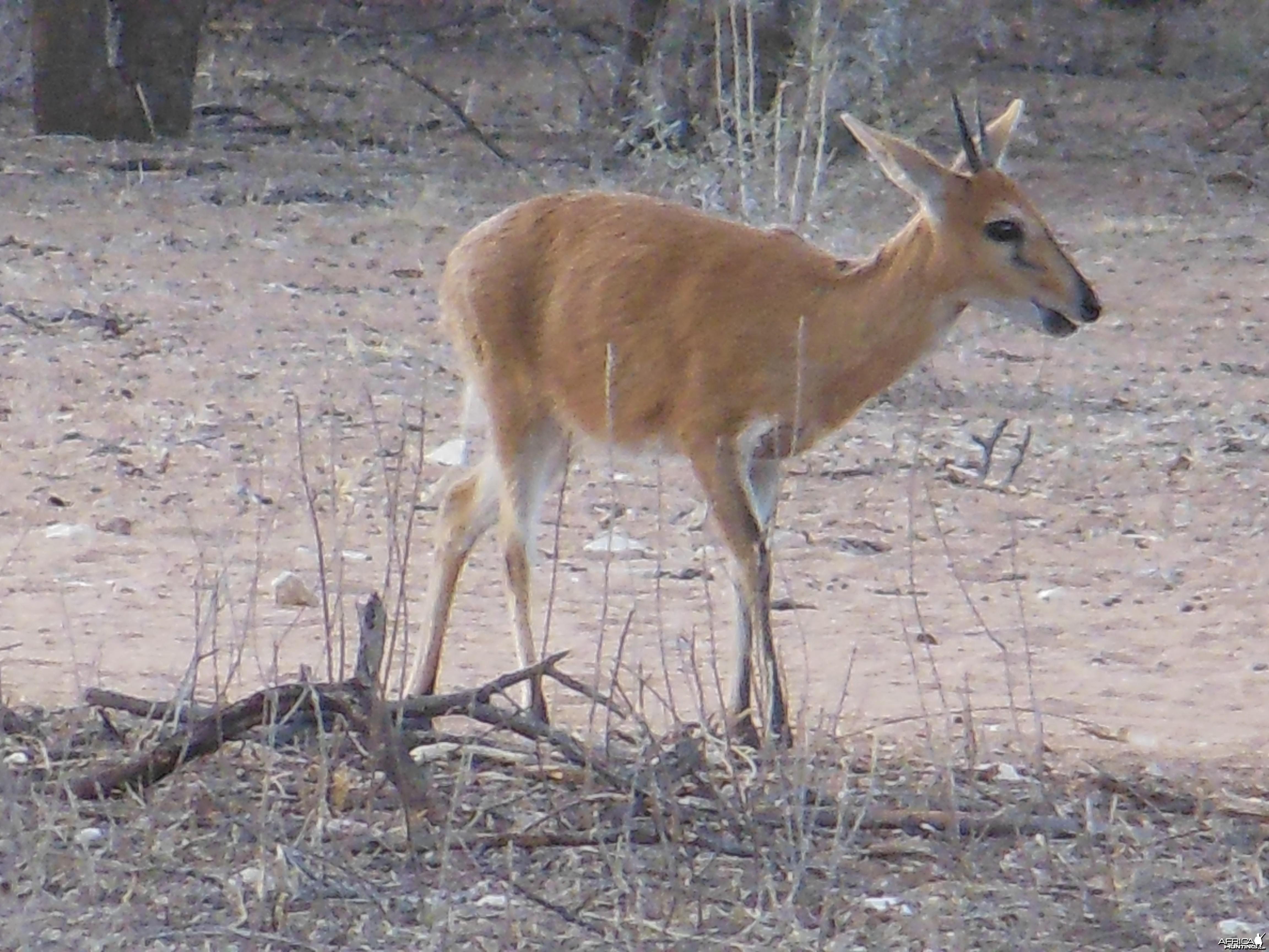 Duiker Namibia
