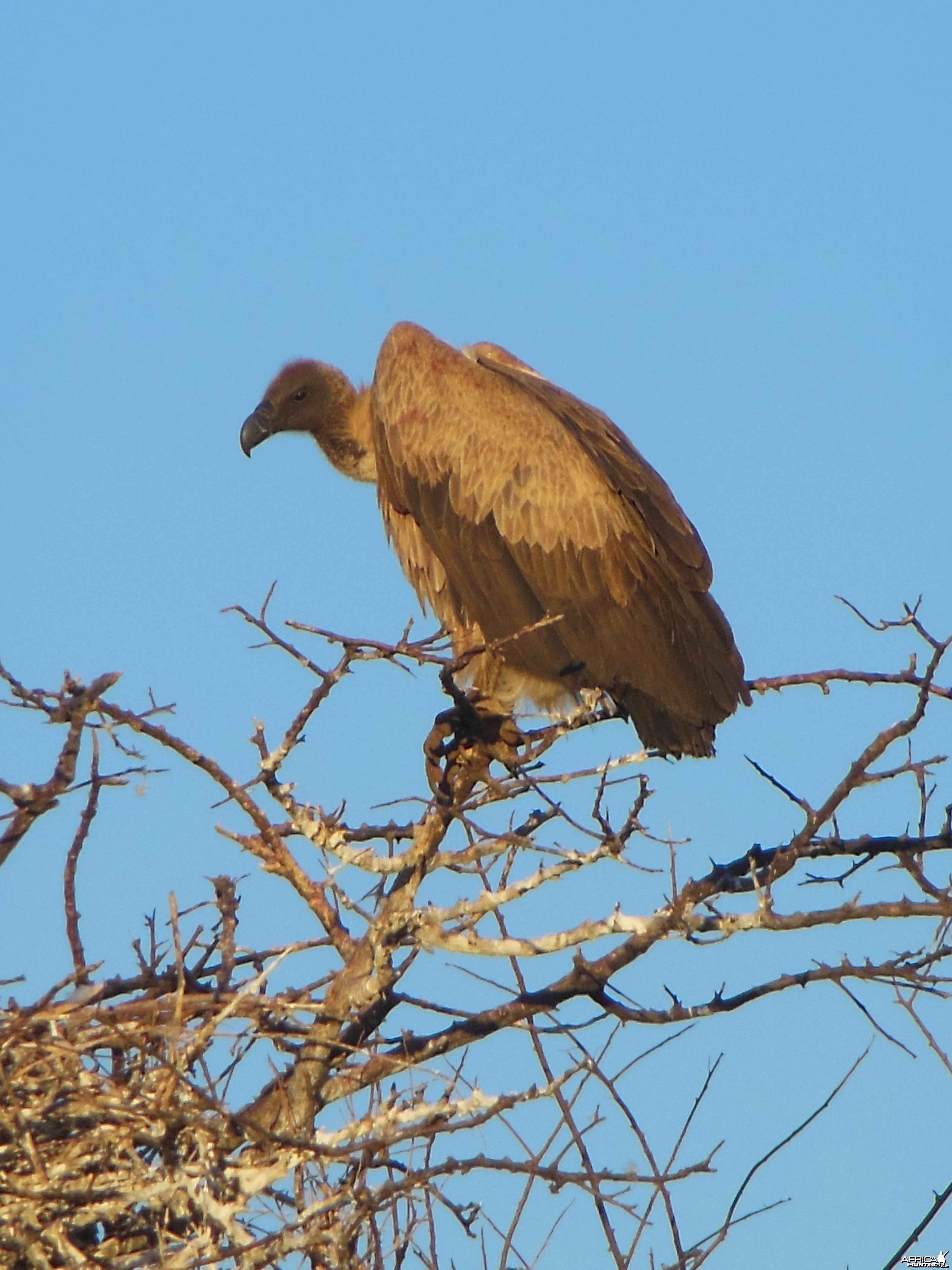 Vulture Namibia