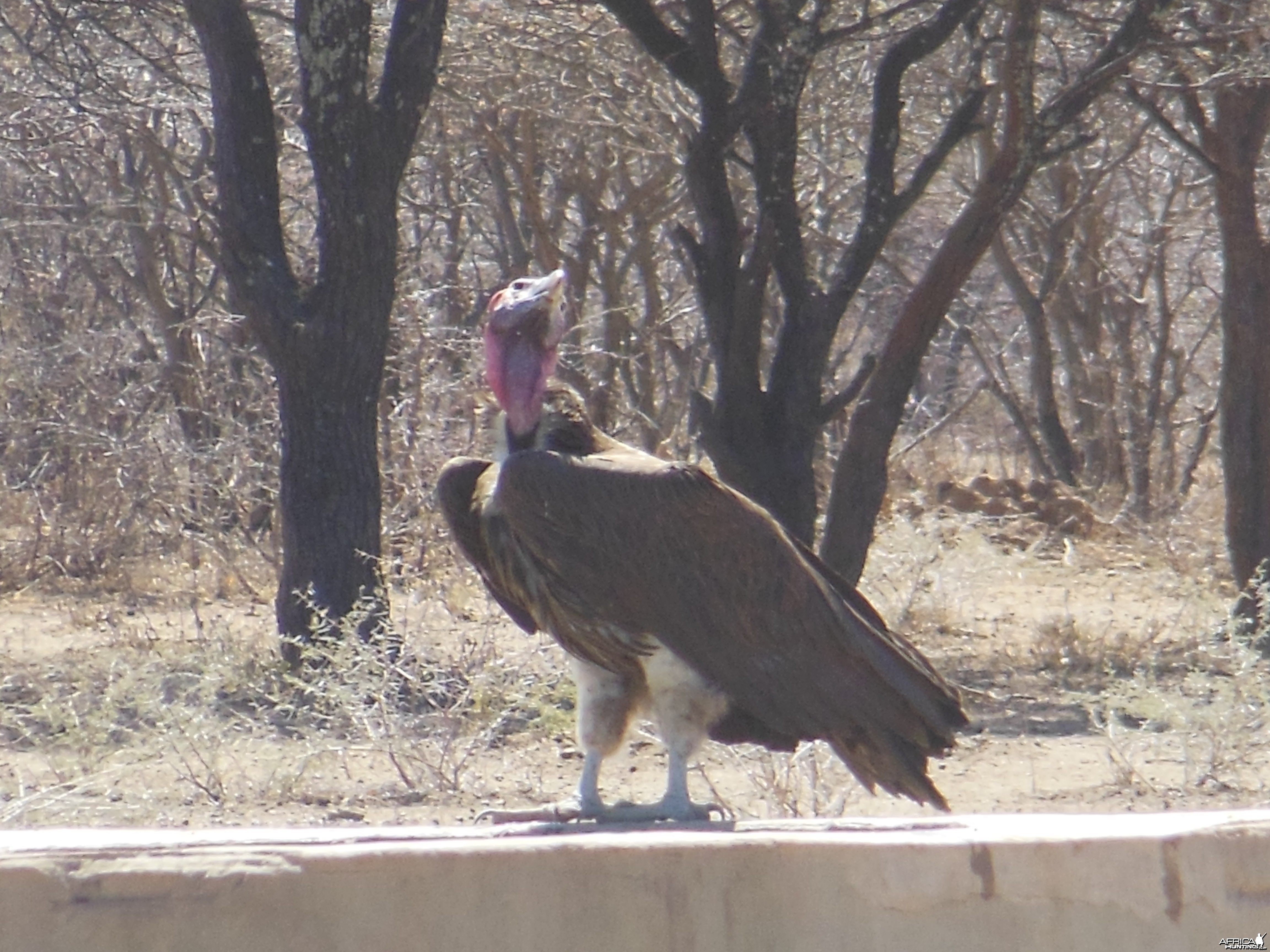Lappet-Faced Vulture Namibia