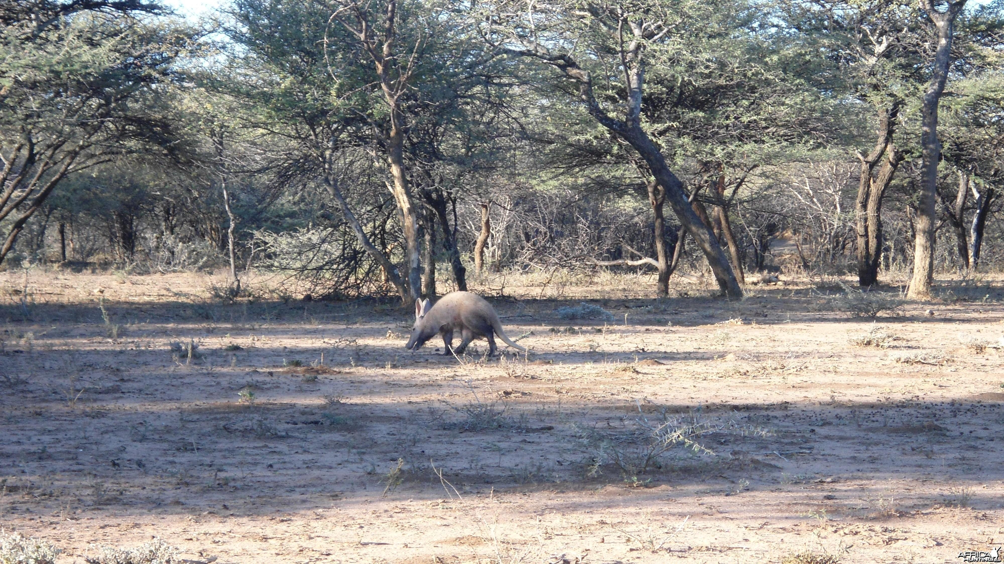 Aardvark or Antbear Namibia
