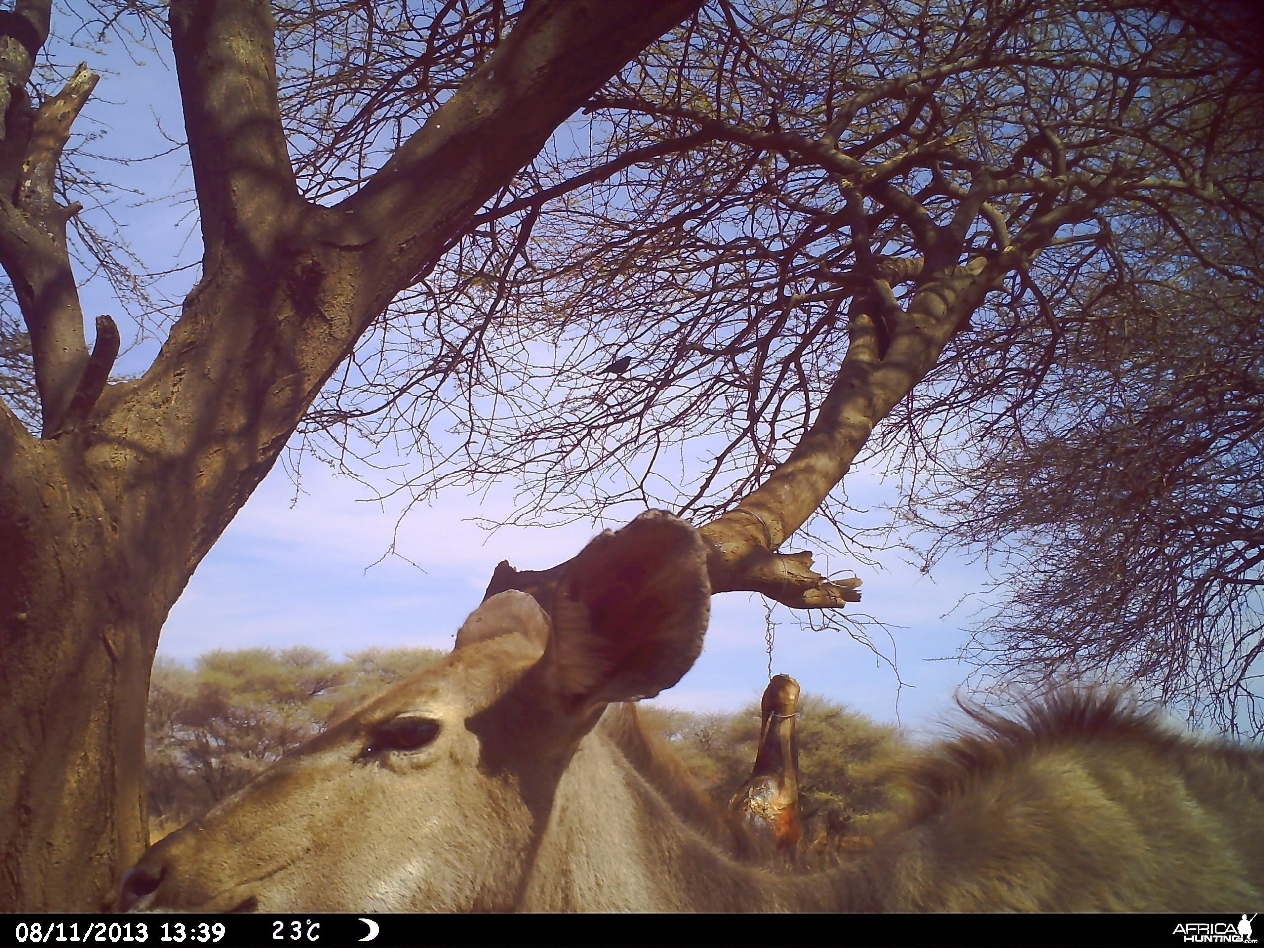 Greater Kudu Trail Camera