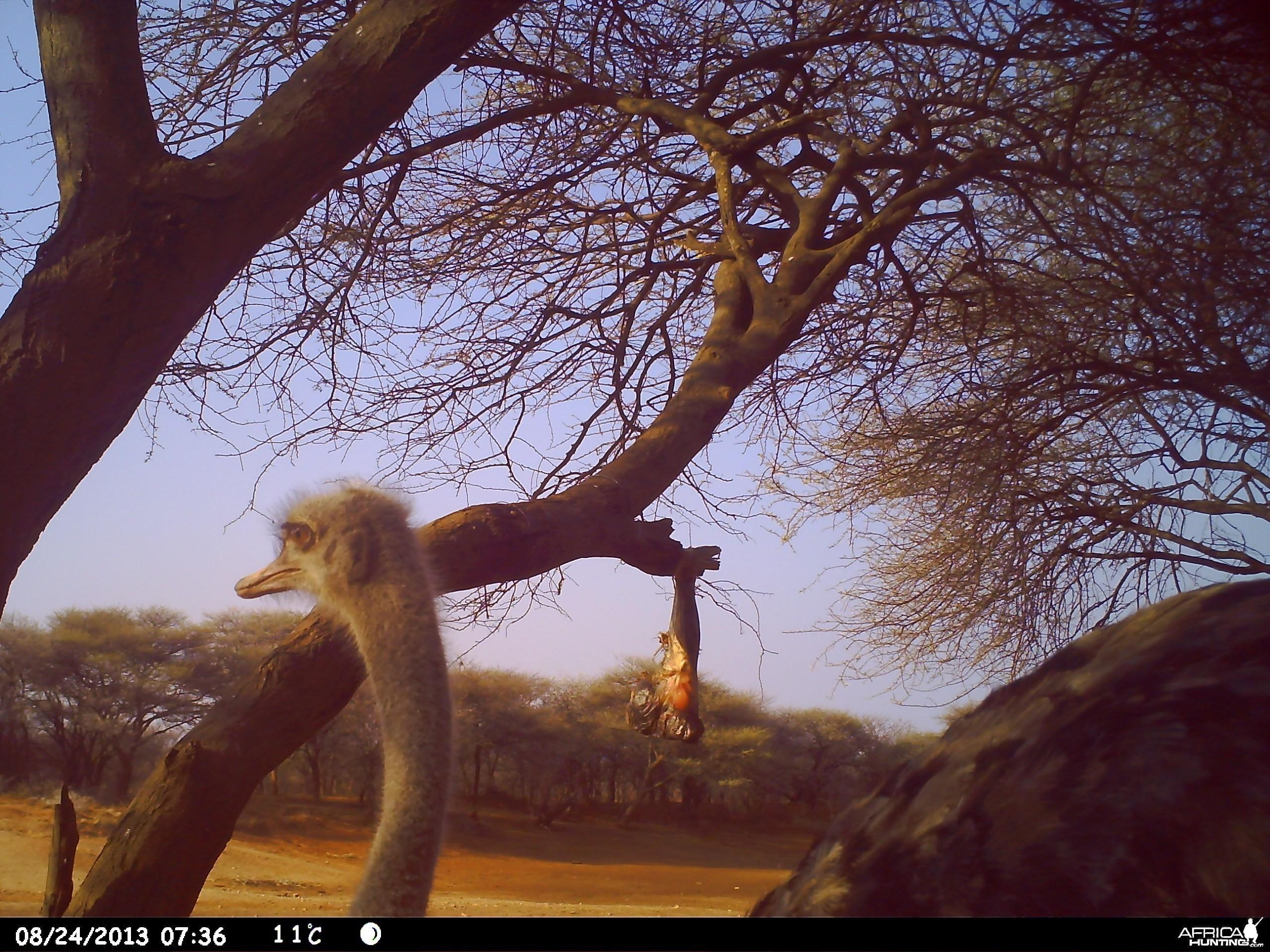 Ostrich Trail Camera