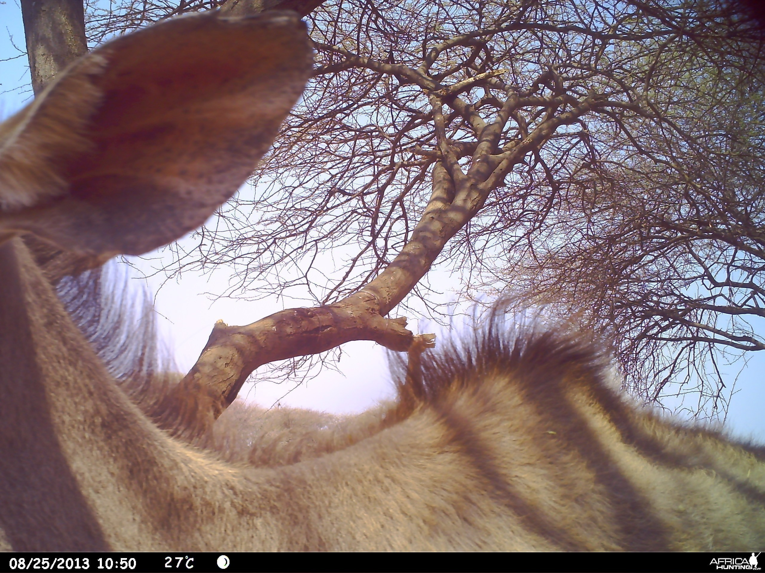 Greater Kudu Trail Camera