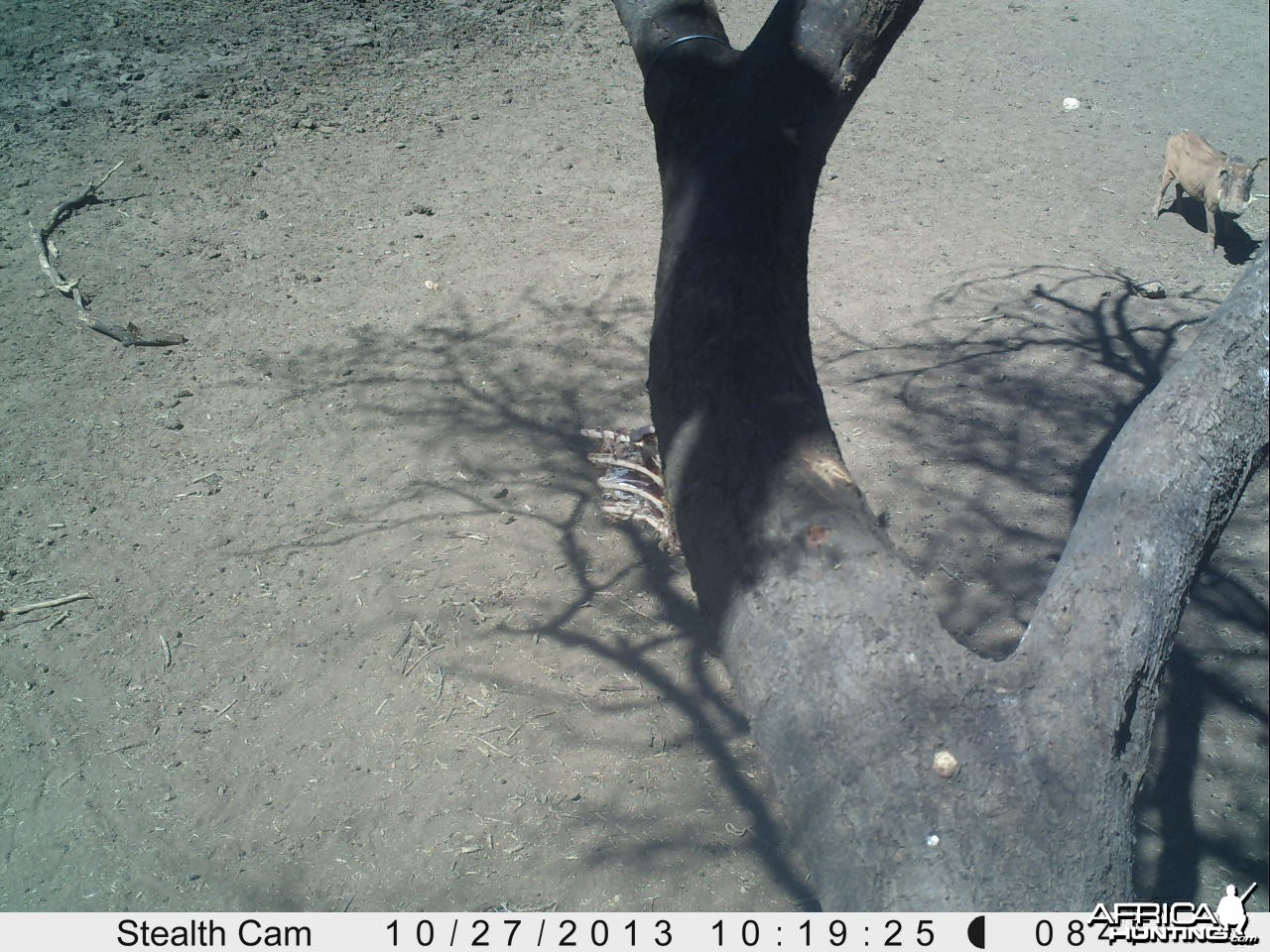 Warthog Trail Camera