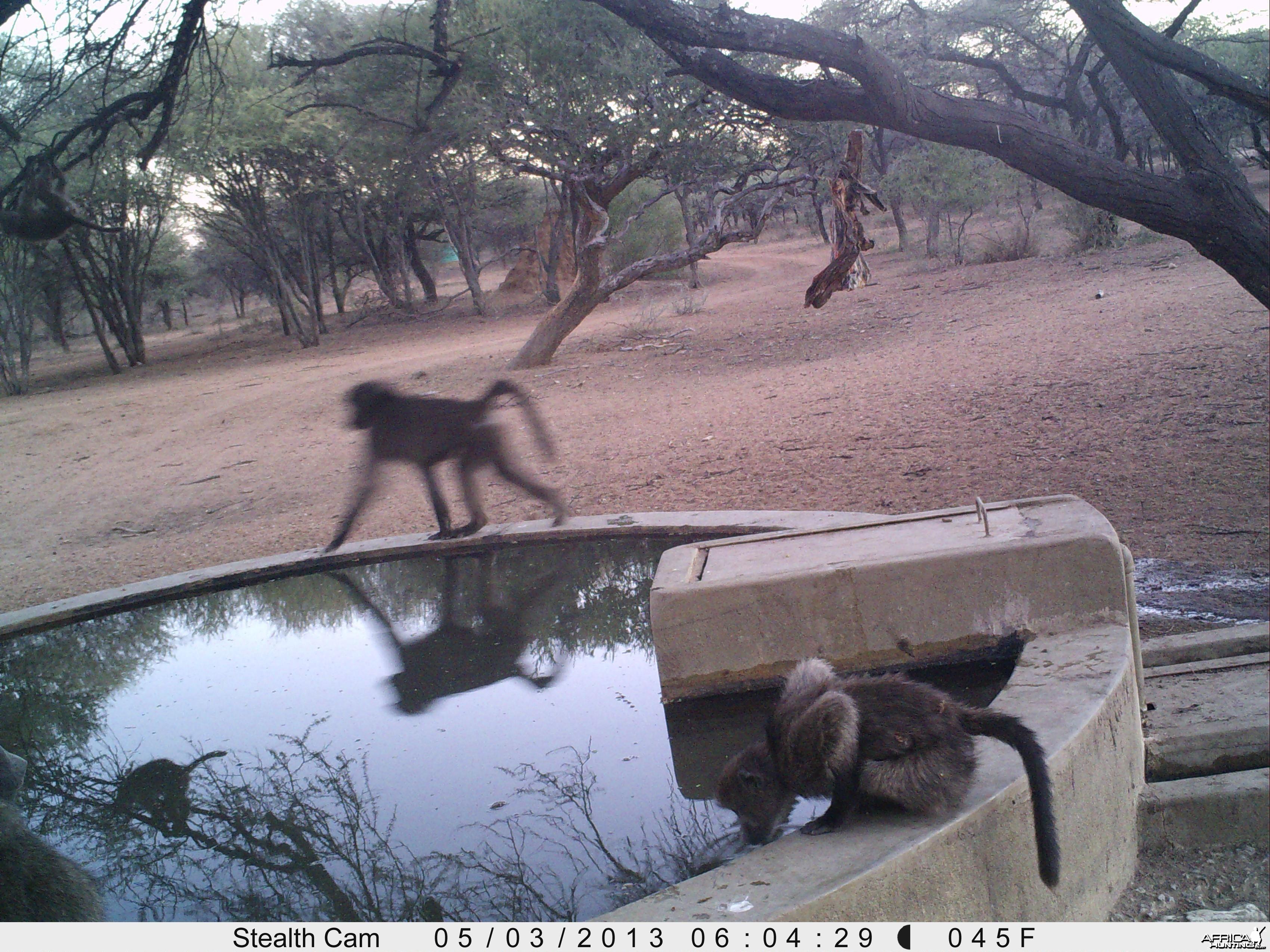 Baboon Trail Camera