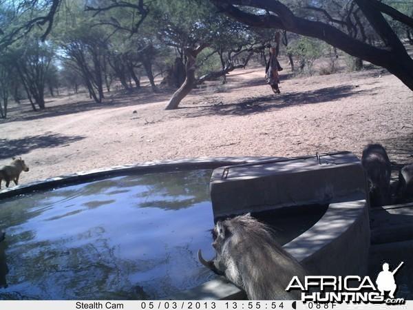 Warthog Trail Camera