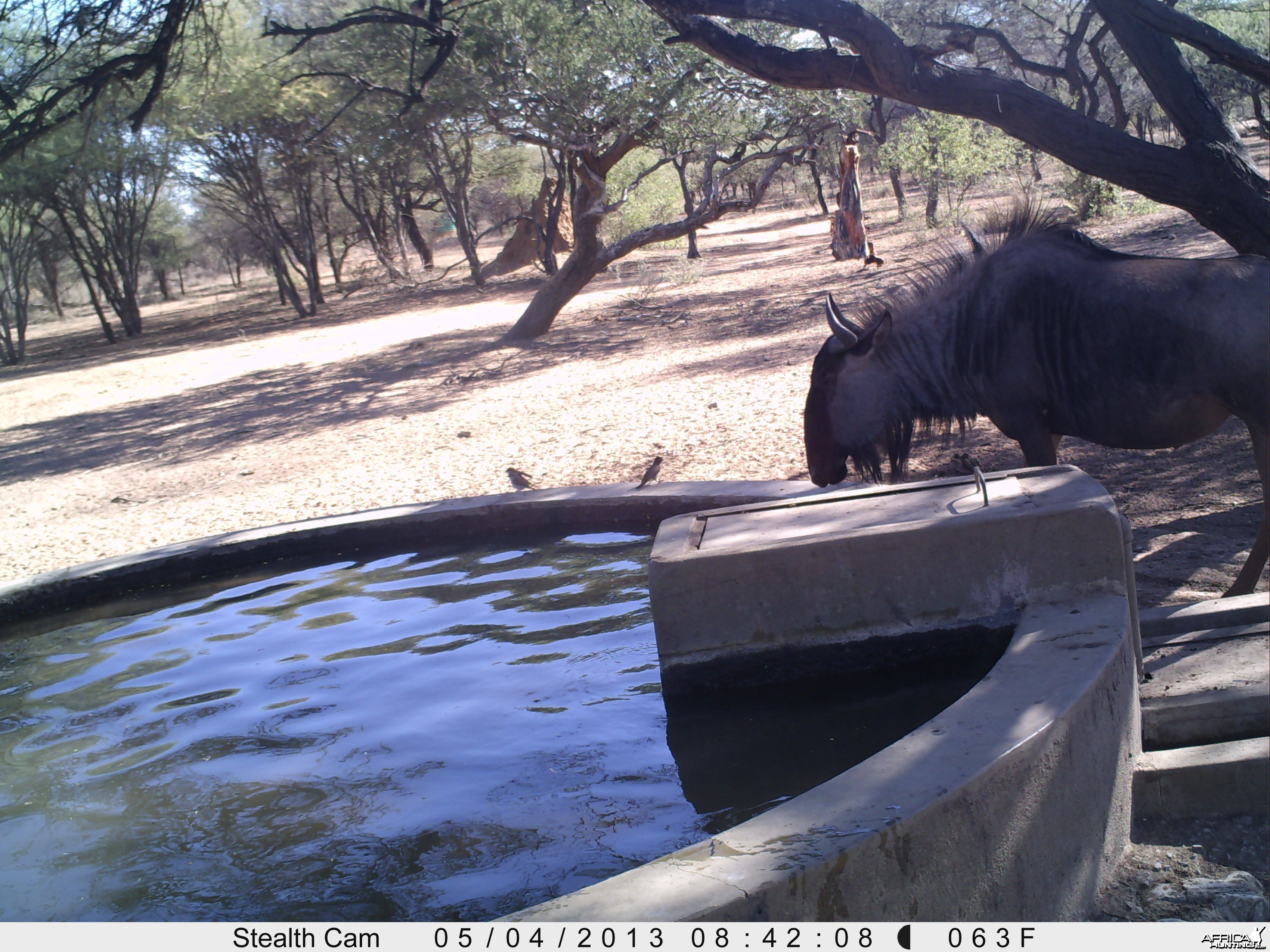 Blue Wildebeest Trail Camera