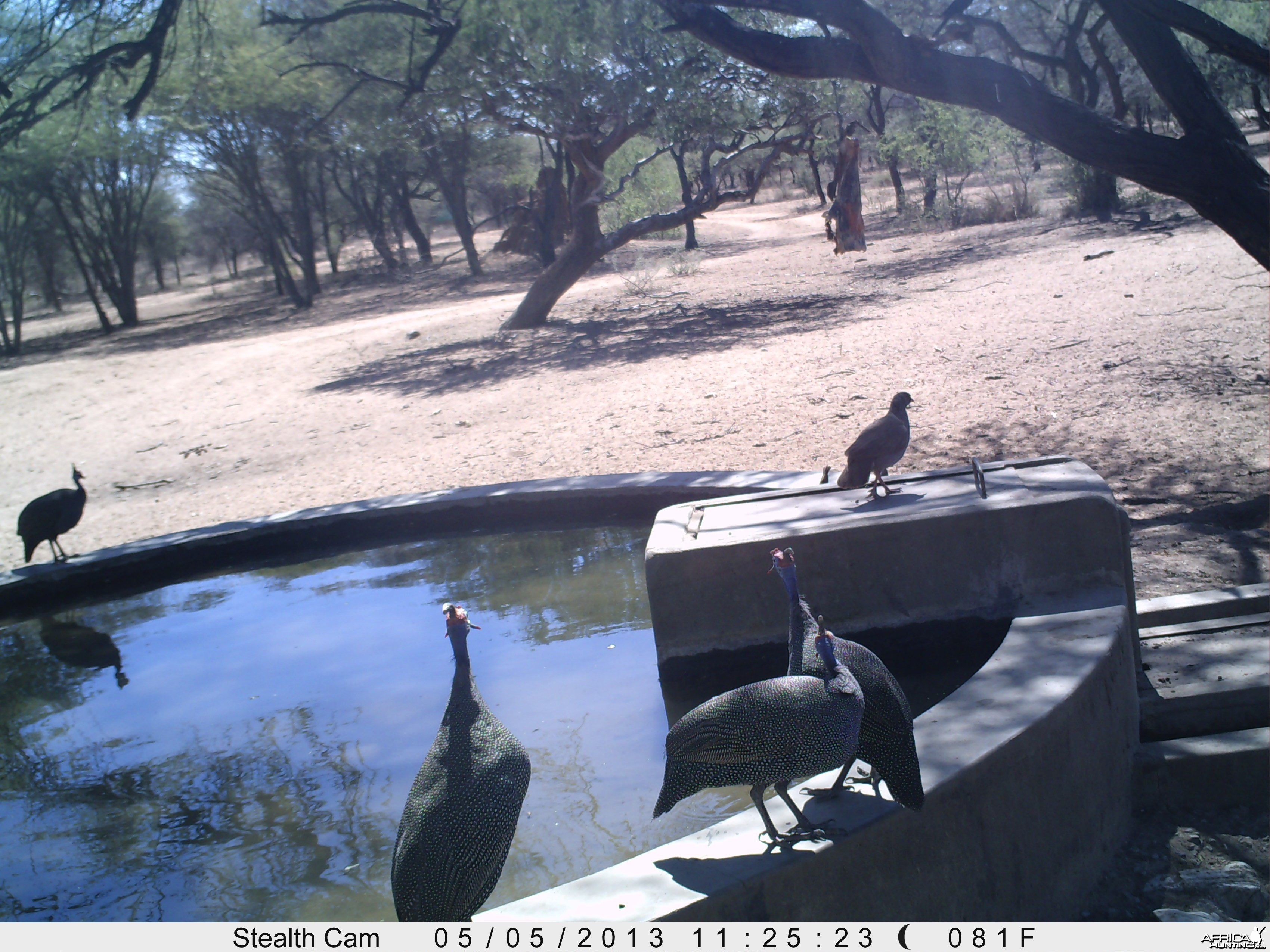 Guineafowl Trail Camera
