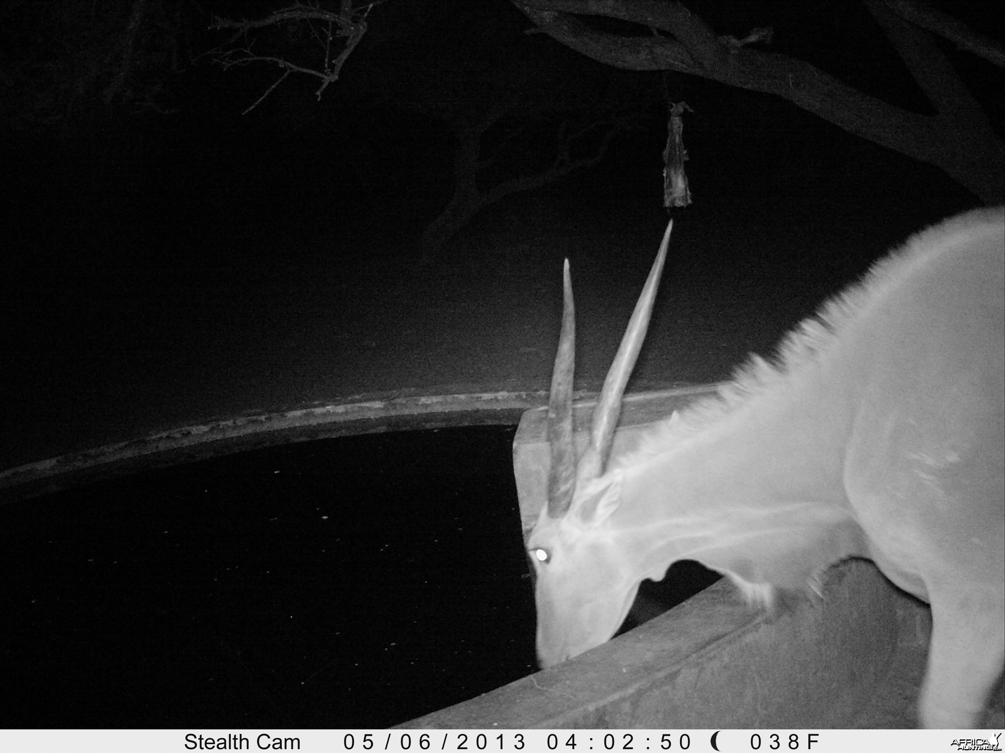 Cape Eland Trail Camera