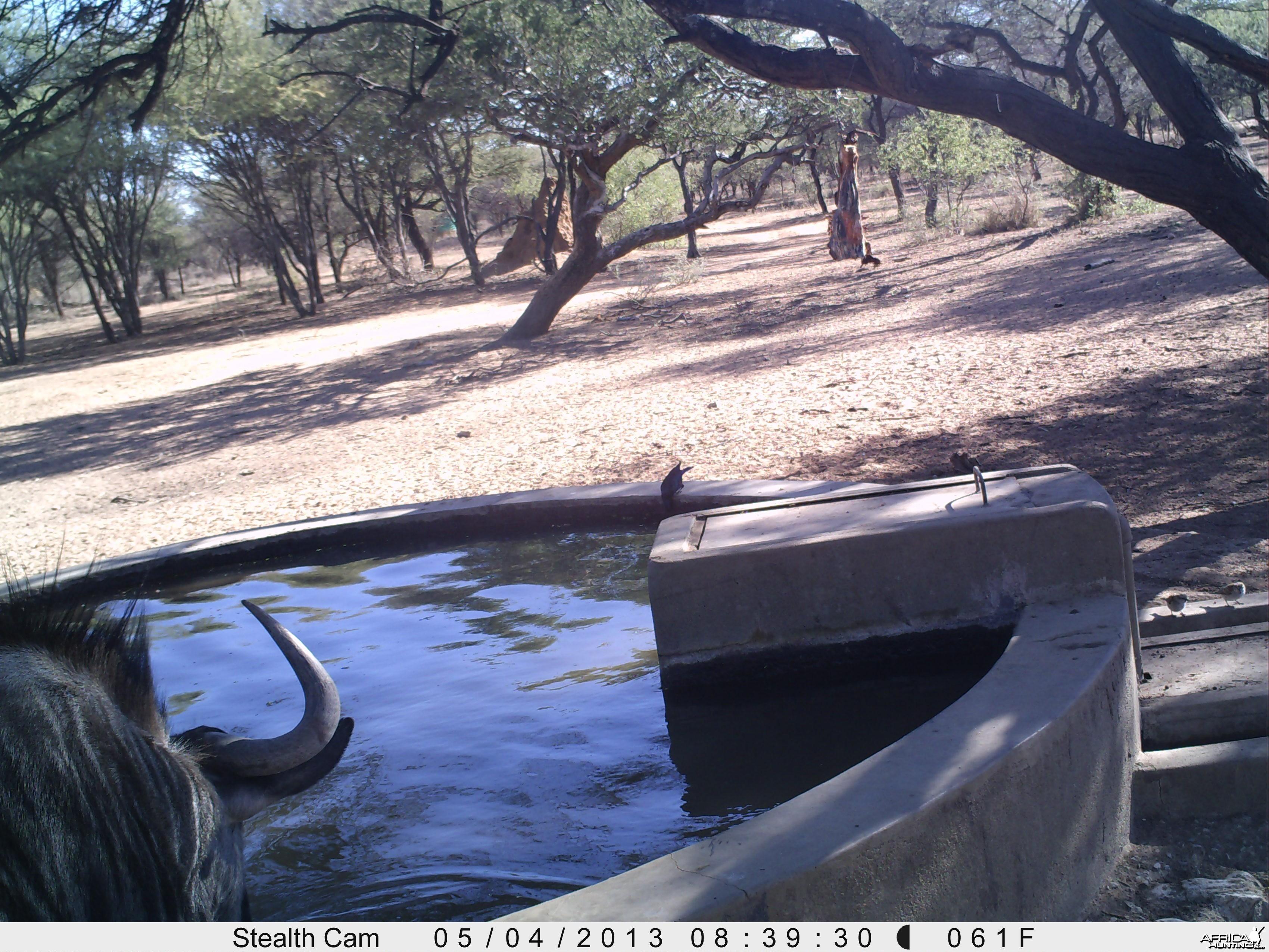 Blue Wildebeest Trail Camera