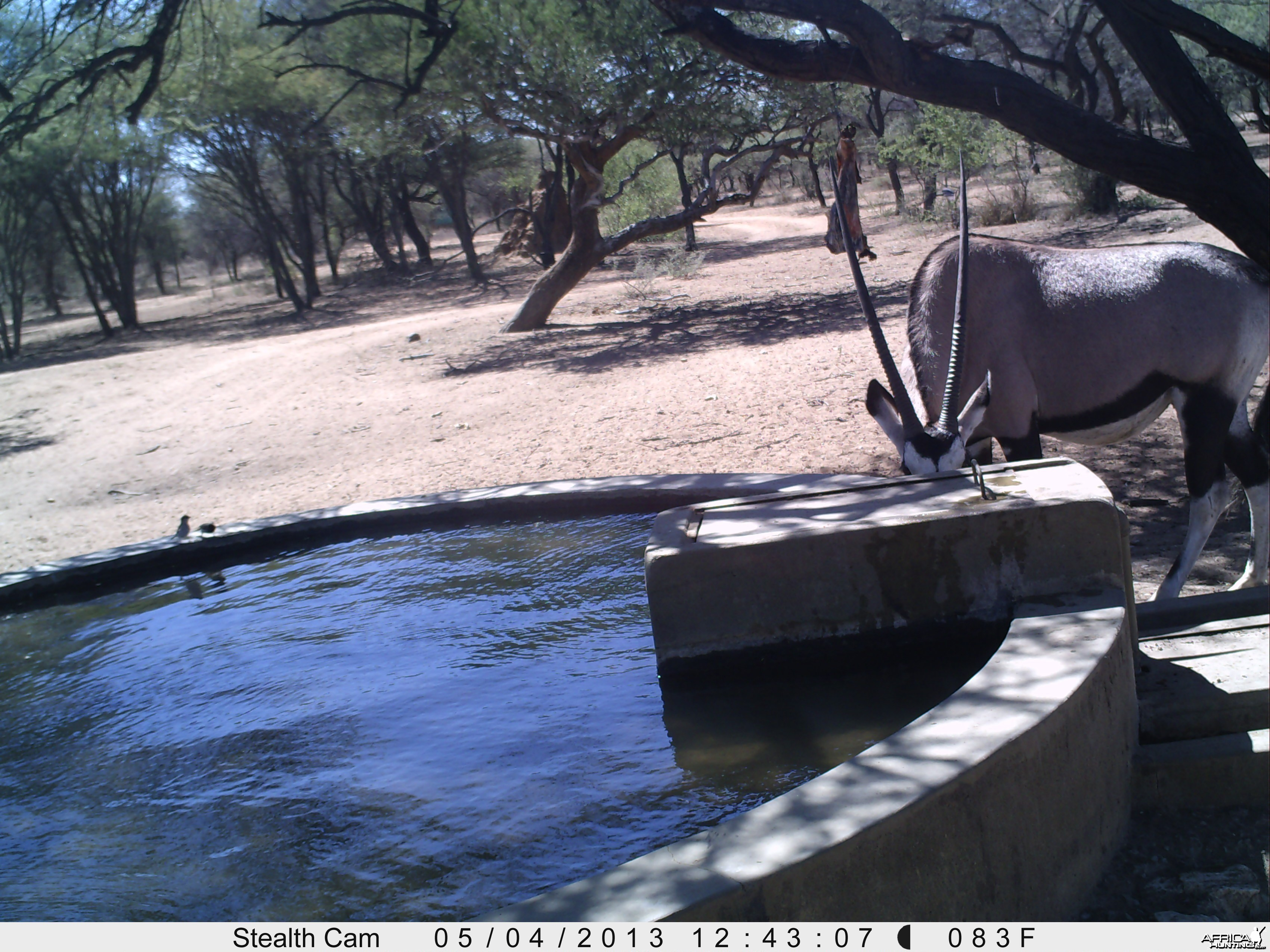 Gemsbok Trail Camera