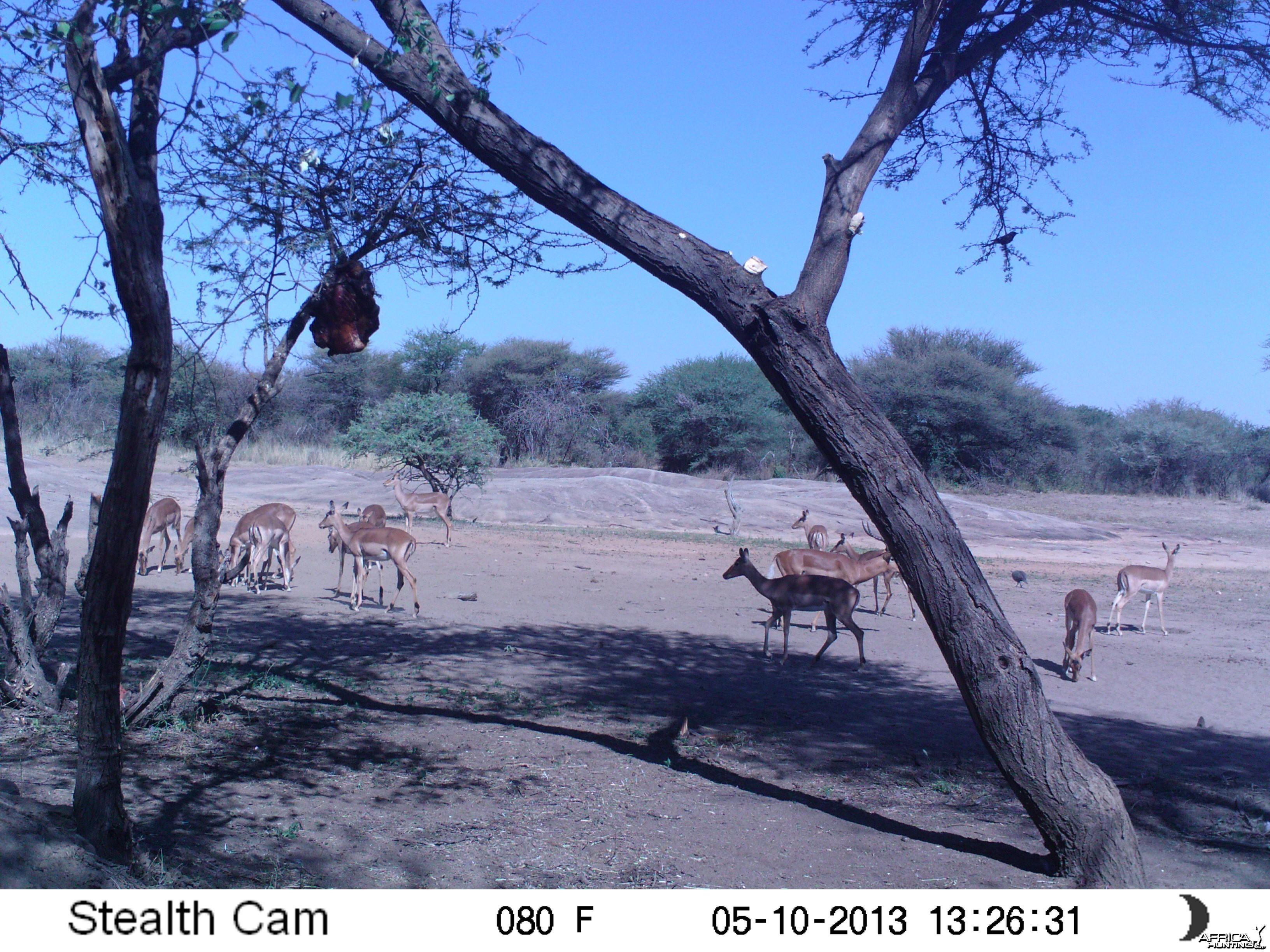 Impala Trail Camera