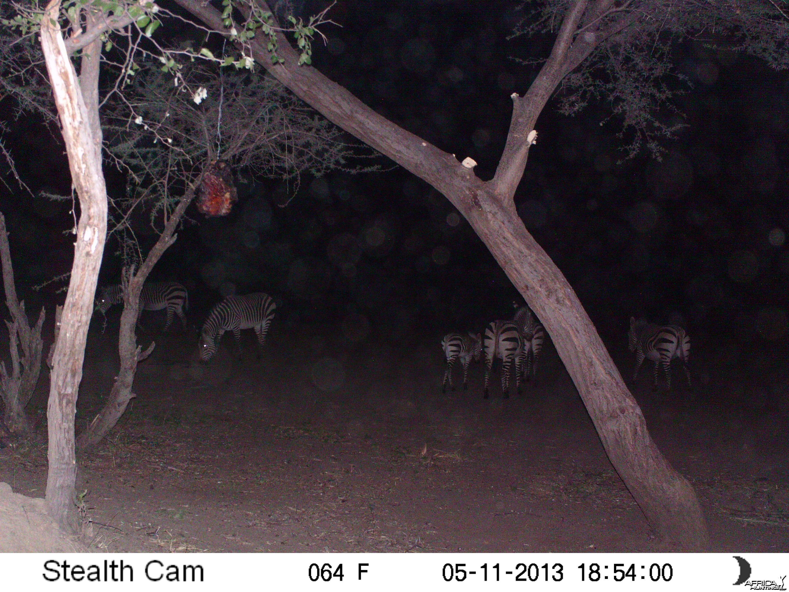 Zebra Trail Camera