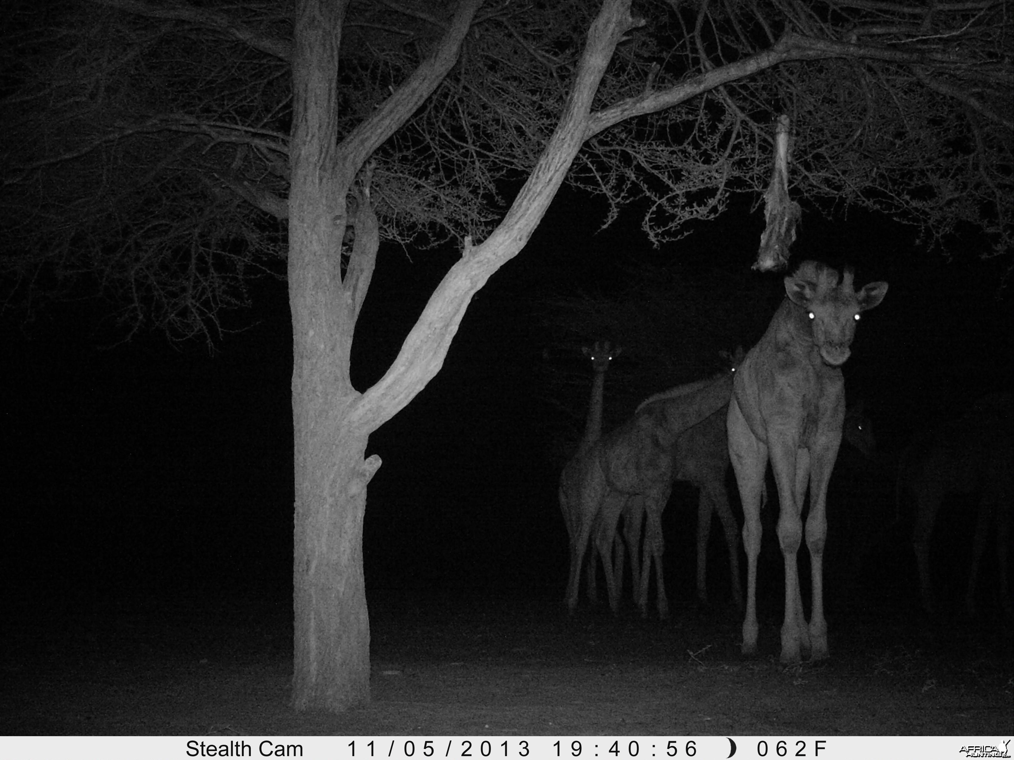 Giraffe Trail Camera