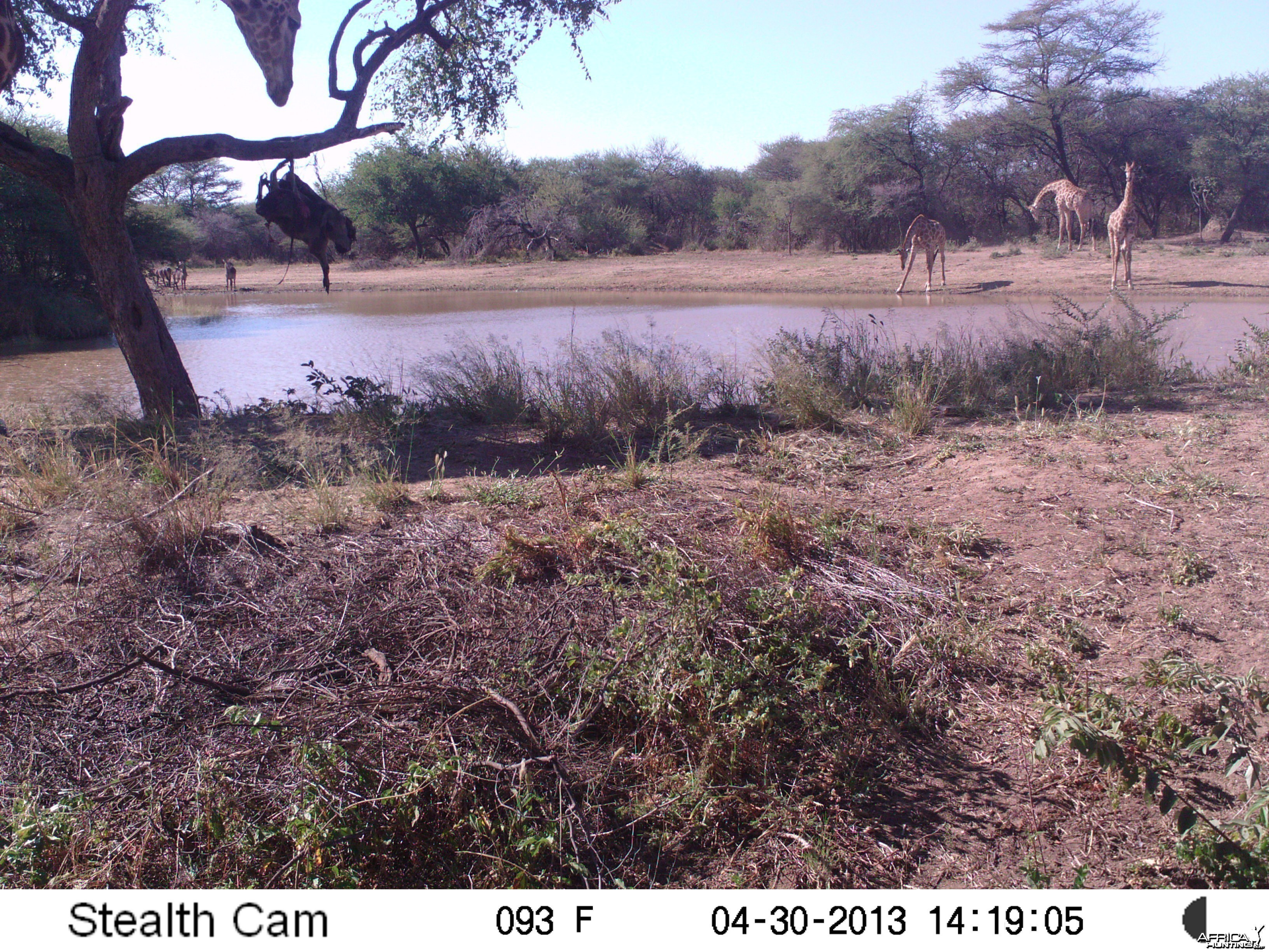 Giraffe Trail Camera