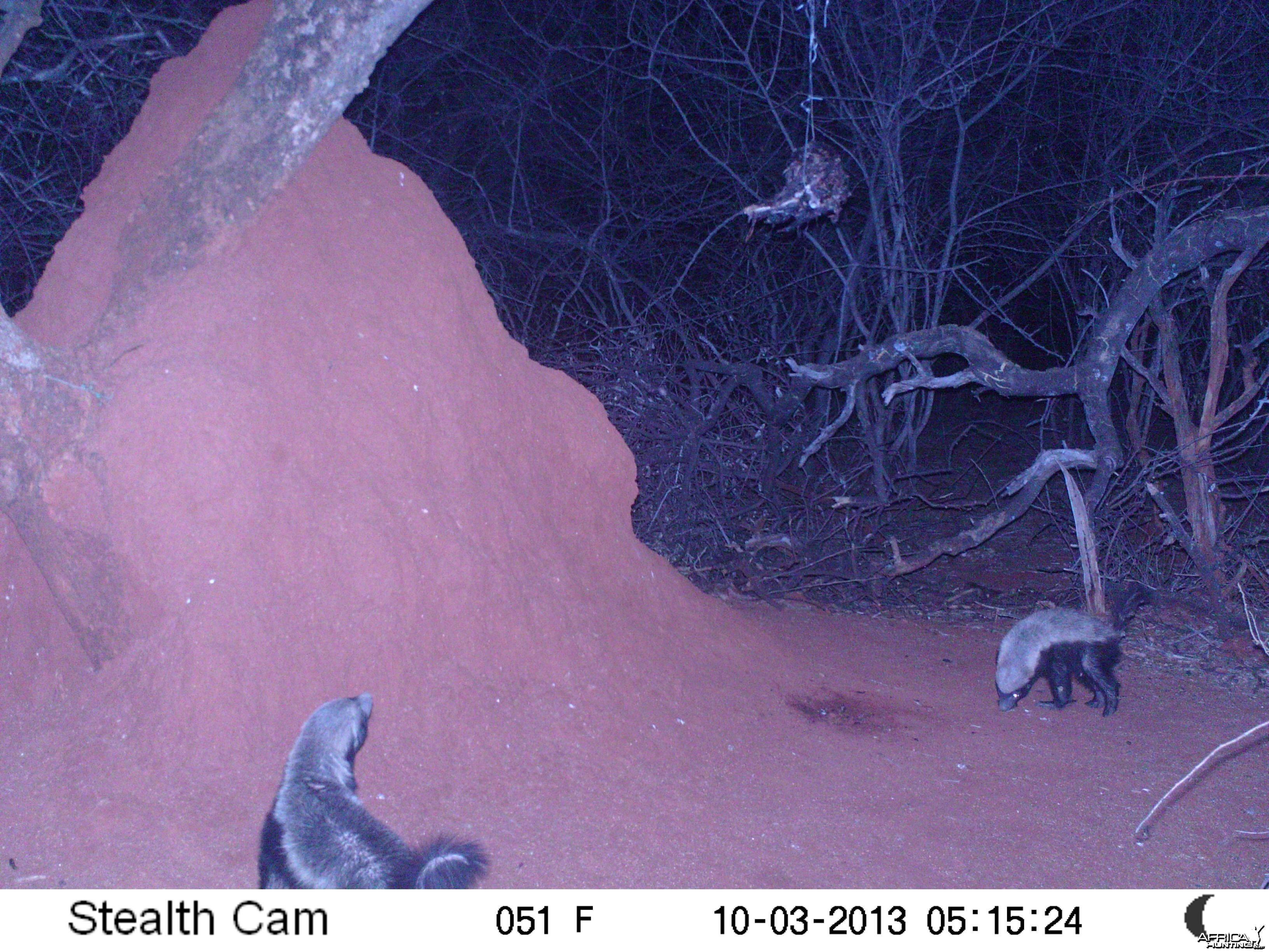 Honey Badger Trail Camera