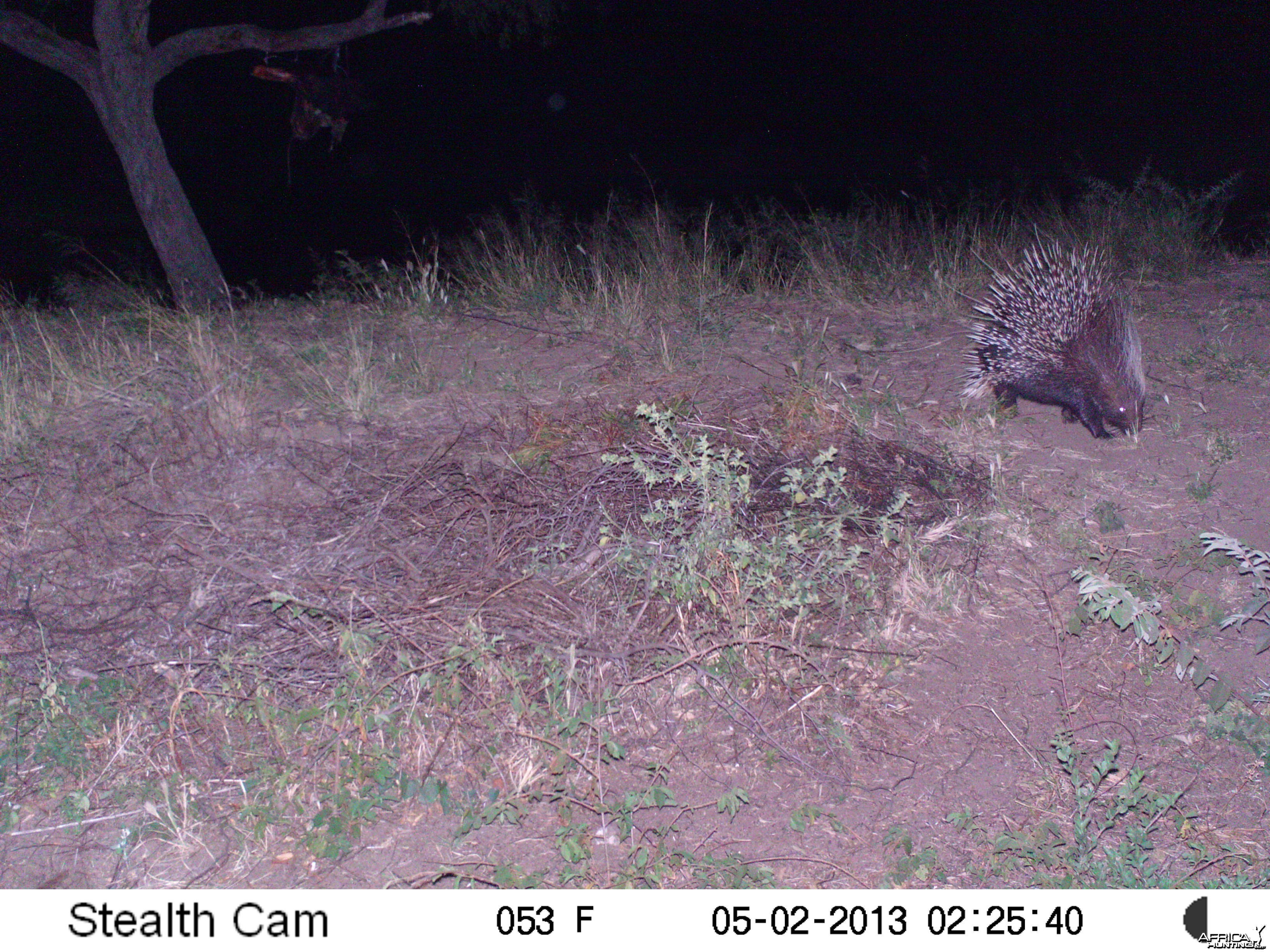 African Porcupine Trail Camera