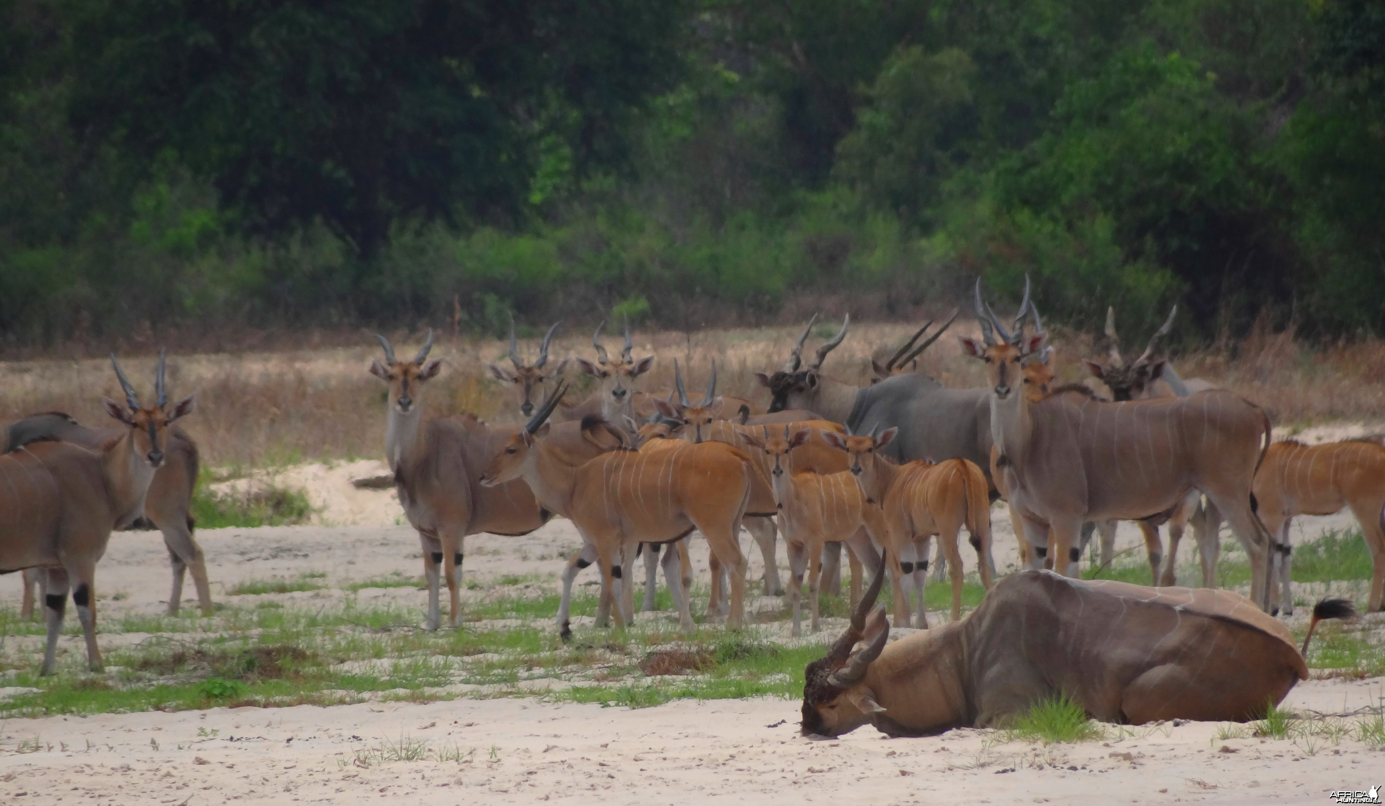 East African Eland dying