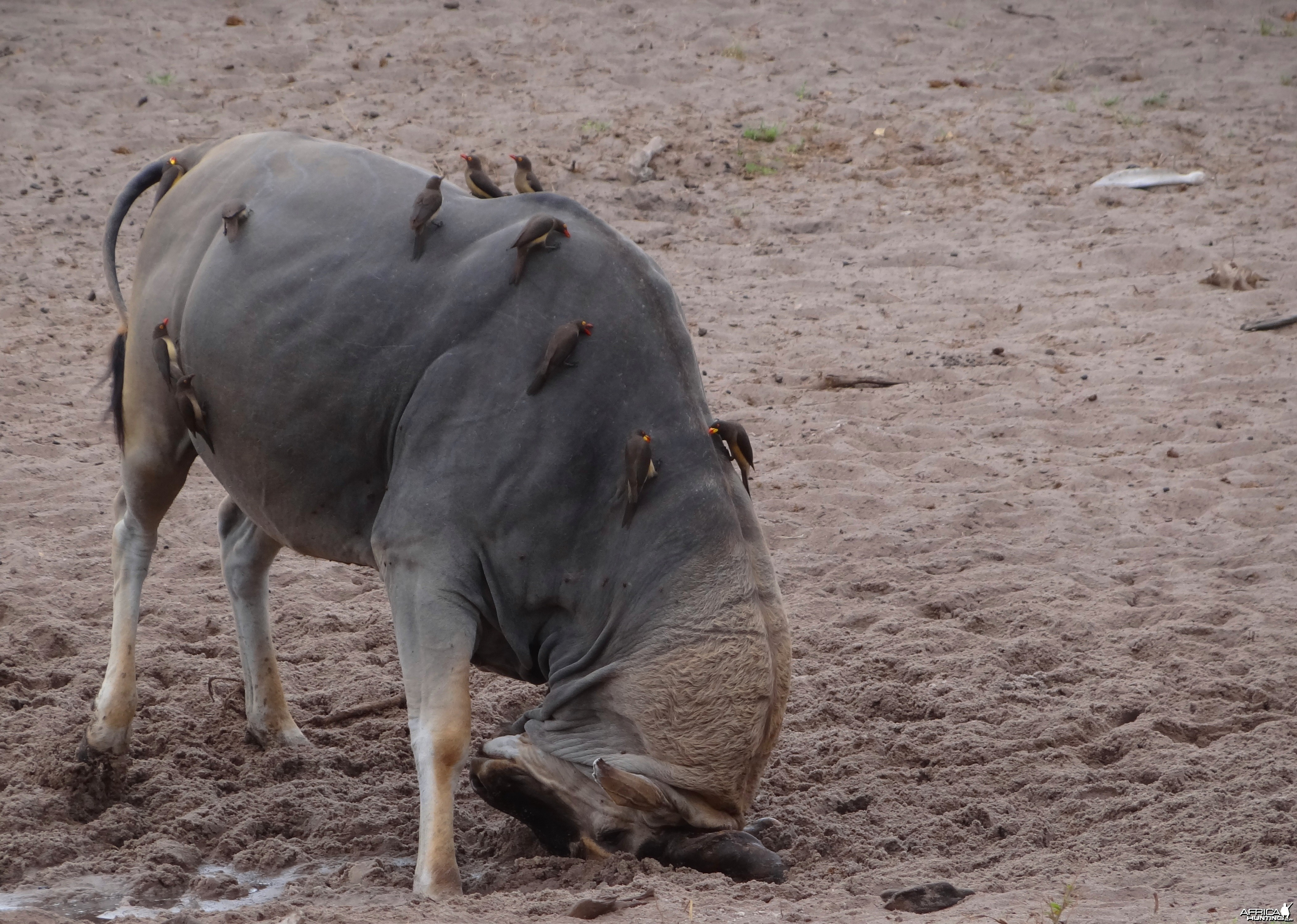 East African Eland marking territory