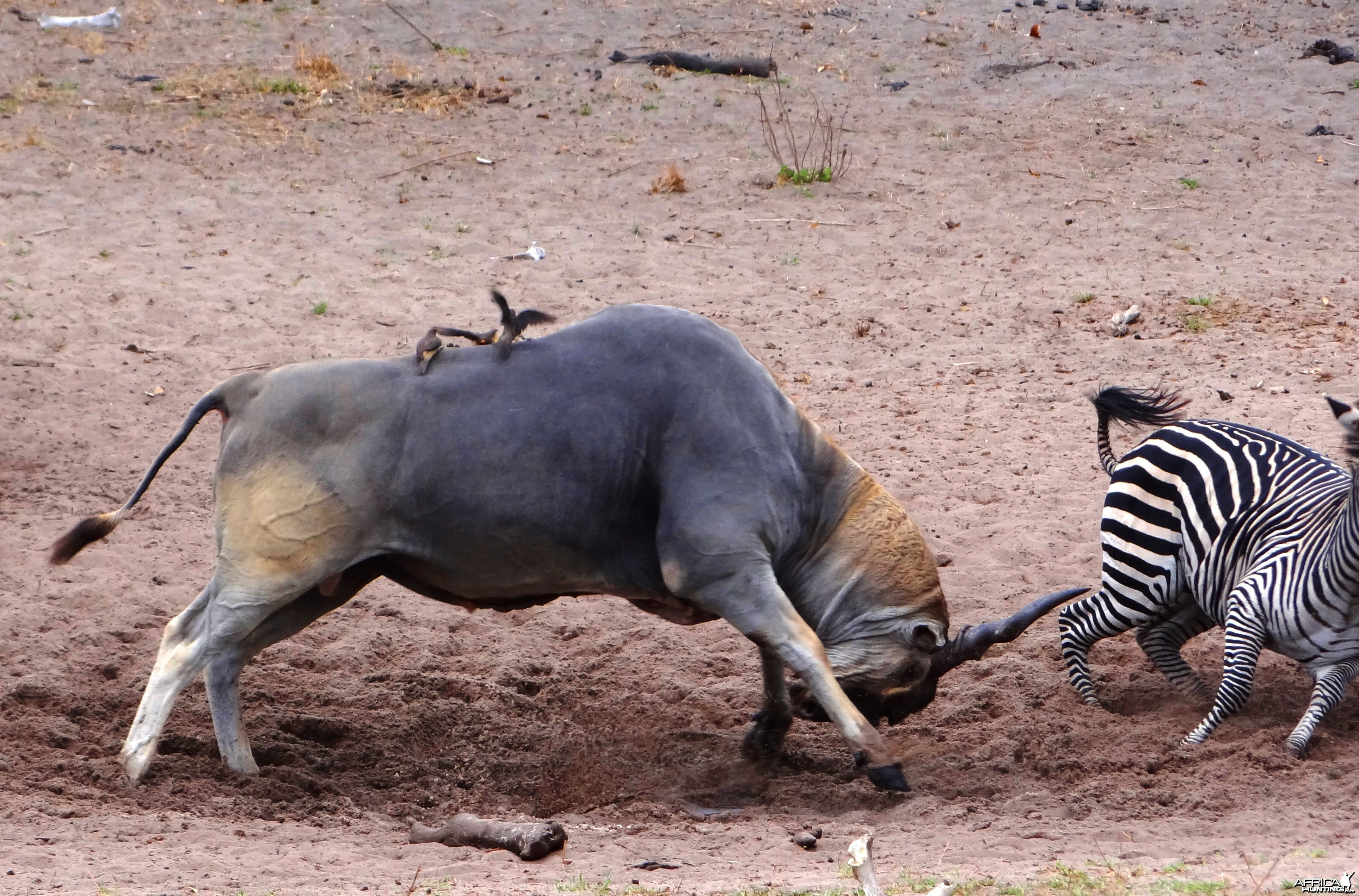 East African Eland chasing zebra