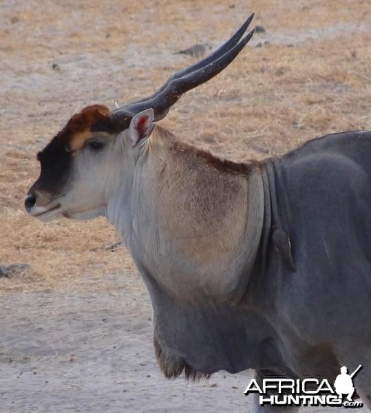 Portrait of a beautiful East African Eland bull