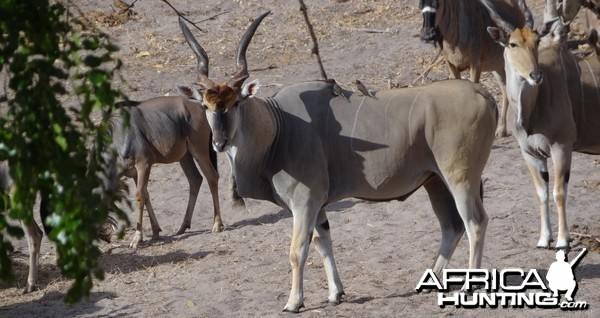Young East African Eland bull