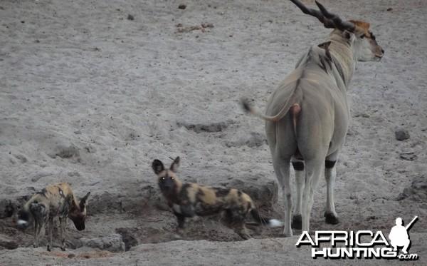 East African Eland sharing waterhole