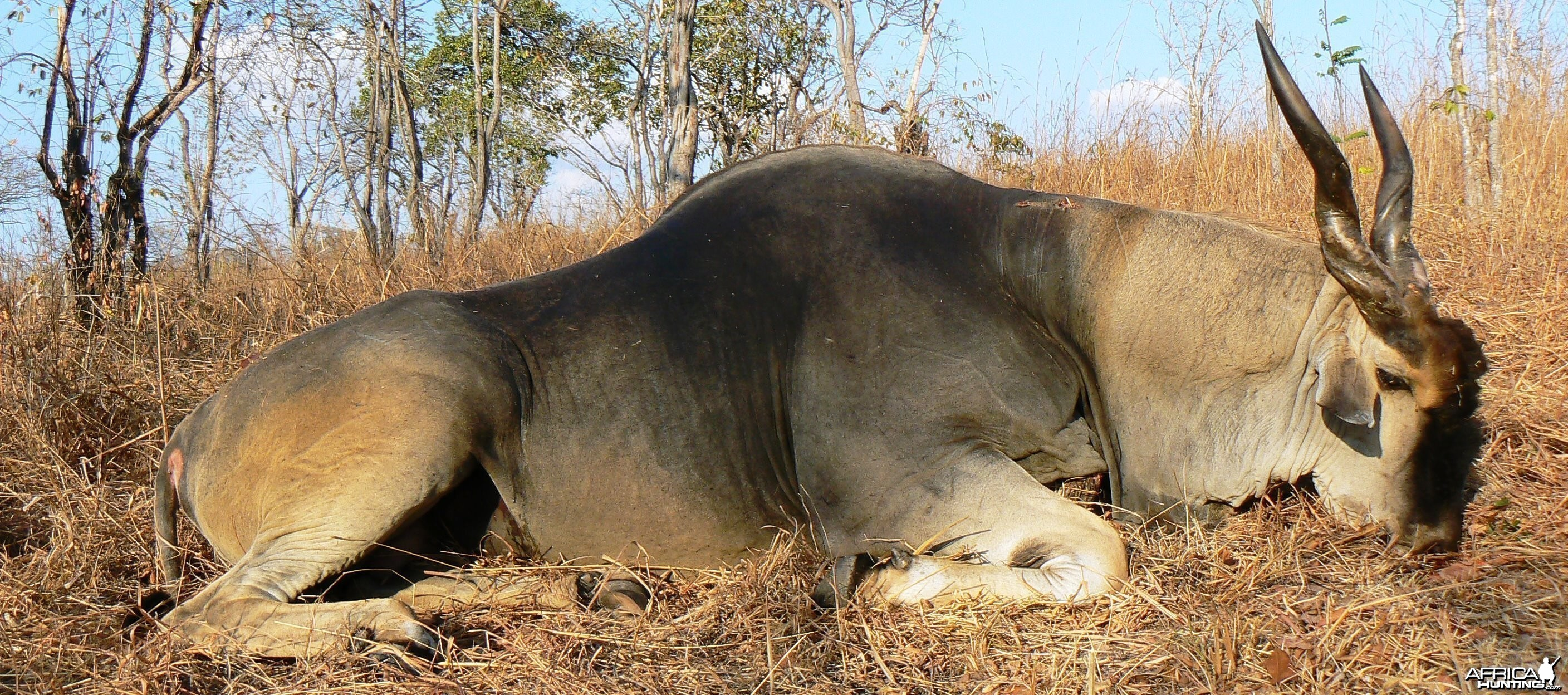 Huge bodied East African Eland