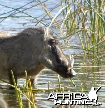 Warthog at the water