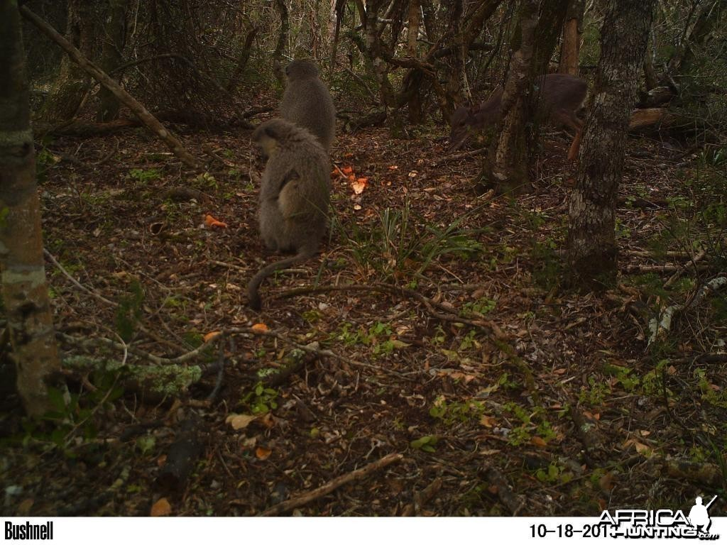 Blueduiker and Vervet monkeys feeding together