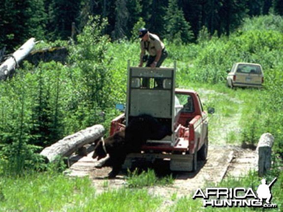 Bear Attack - Mauling